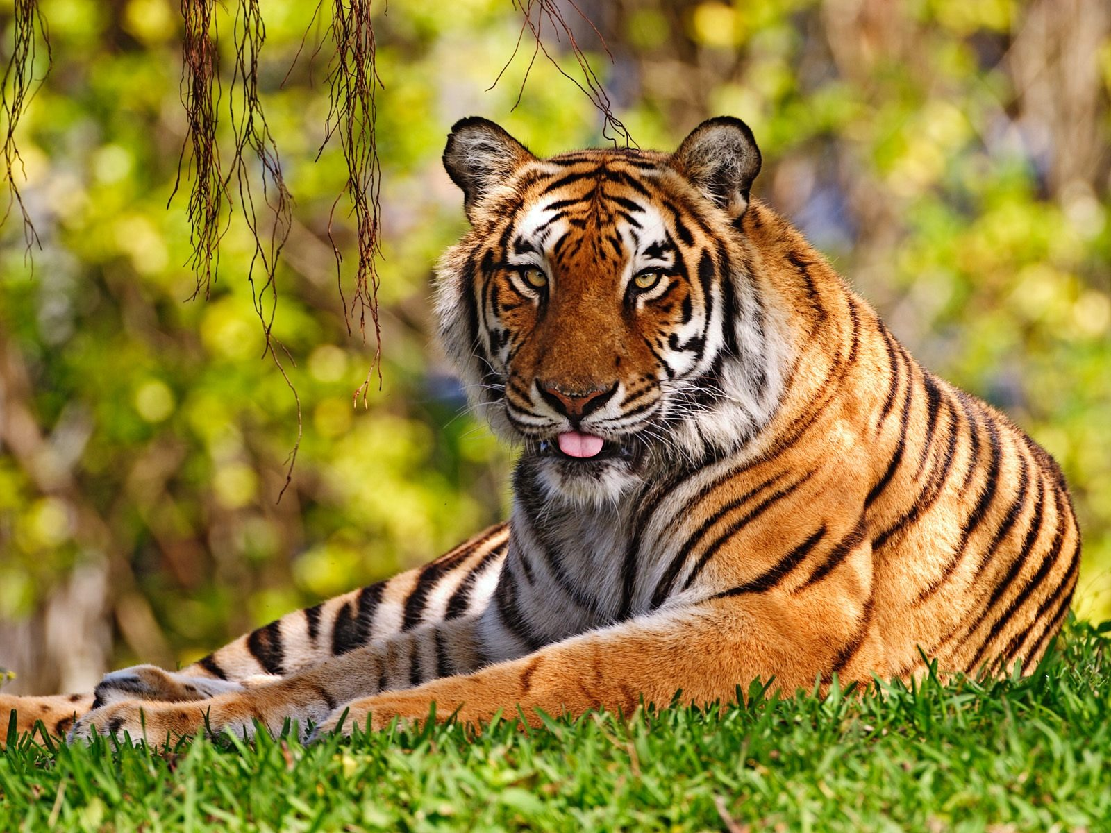 Tiger Tongue Wallpaper Tigers Animals Wallpapers