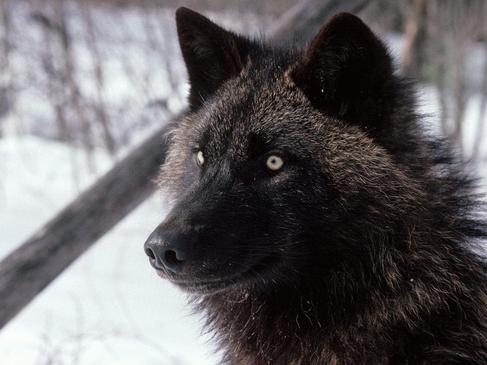 Good Wallpaper Angry Gray Wolf - tundra_wolf_wallpaper_wolves_animals_459  Pic_283833      .jpg