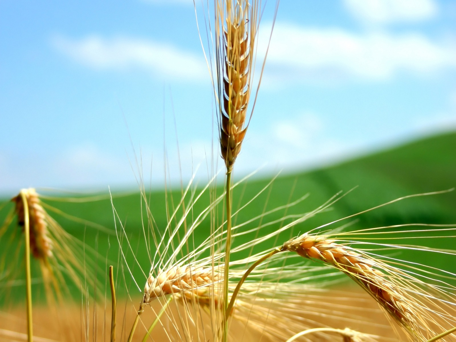 wheat wallpaper plants nature wallpapers in jpg format for free download