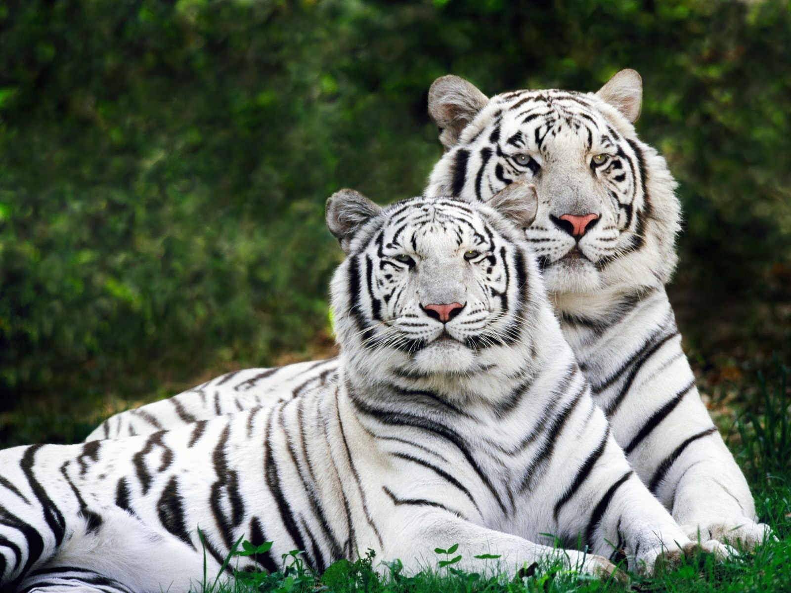 white phase bengal tigers wallpaper tigers animals wallpapers in jpg