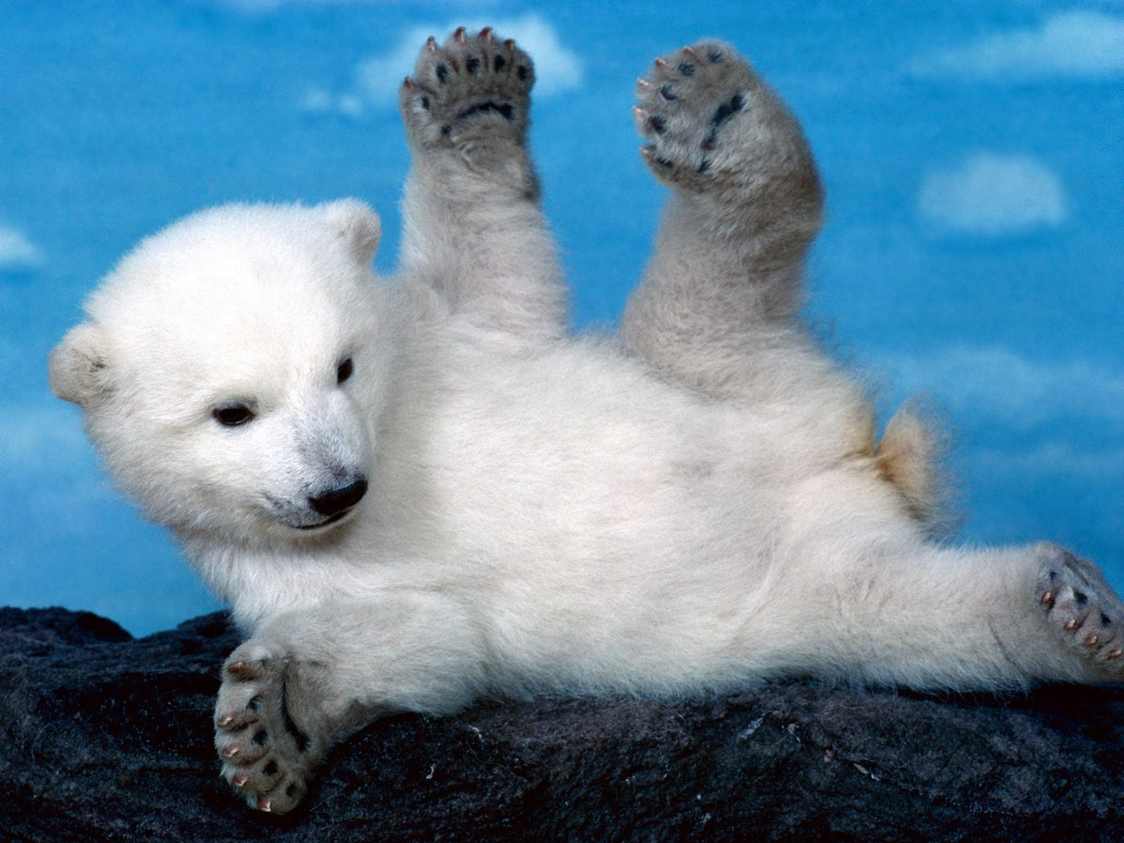 whoops polar bear wallpaper bears animals wallpapers in jpg format