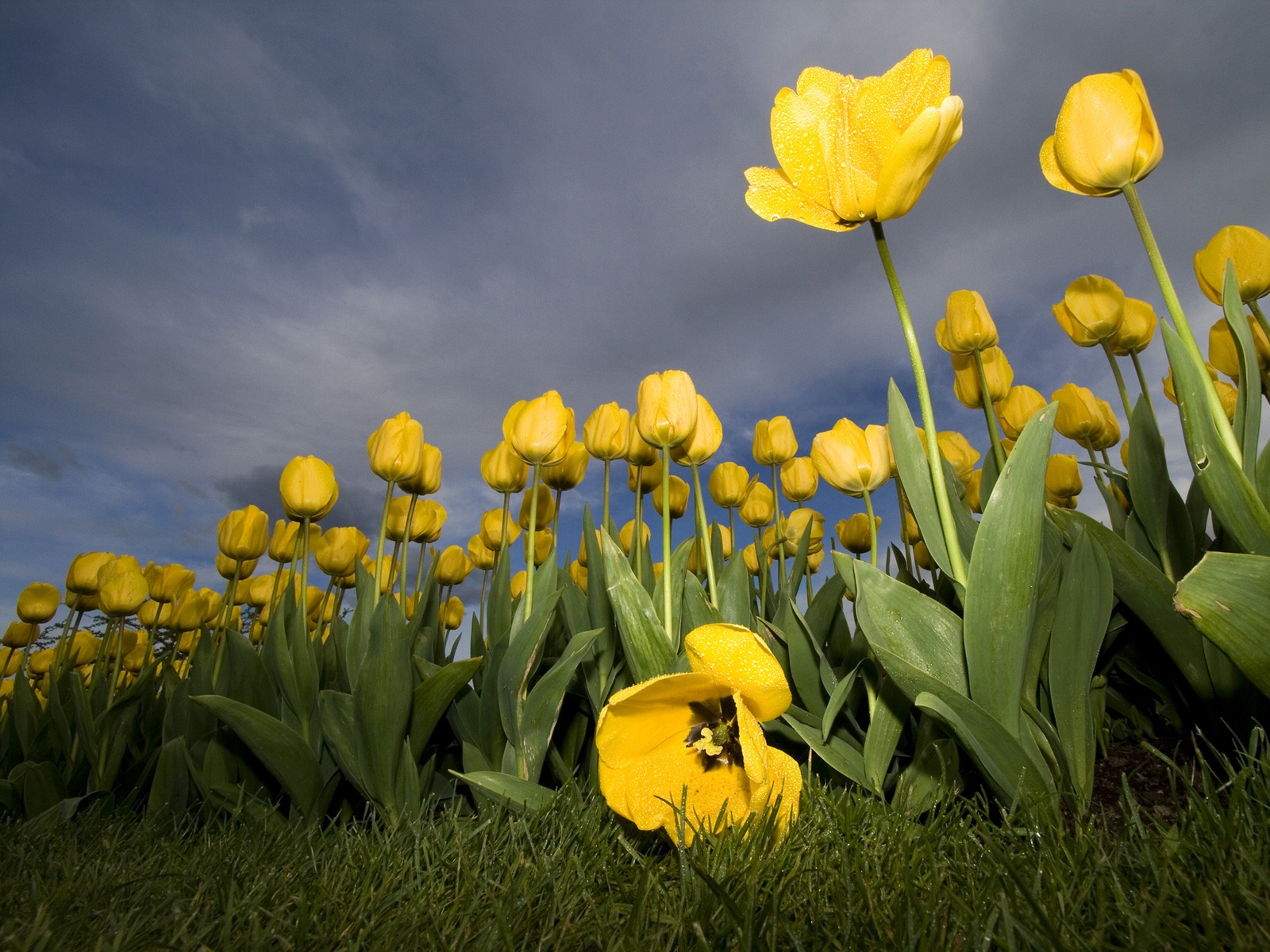 Yellow tulips wallpaper flowers nature wallpapers in jpg format for yellow tulips wallpaper flowers nature wallpapers thecheapjerseys Choice Image