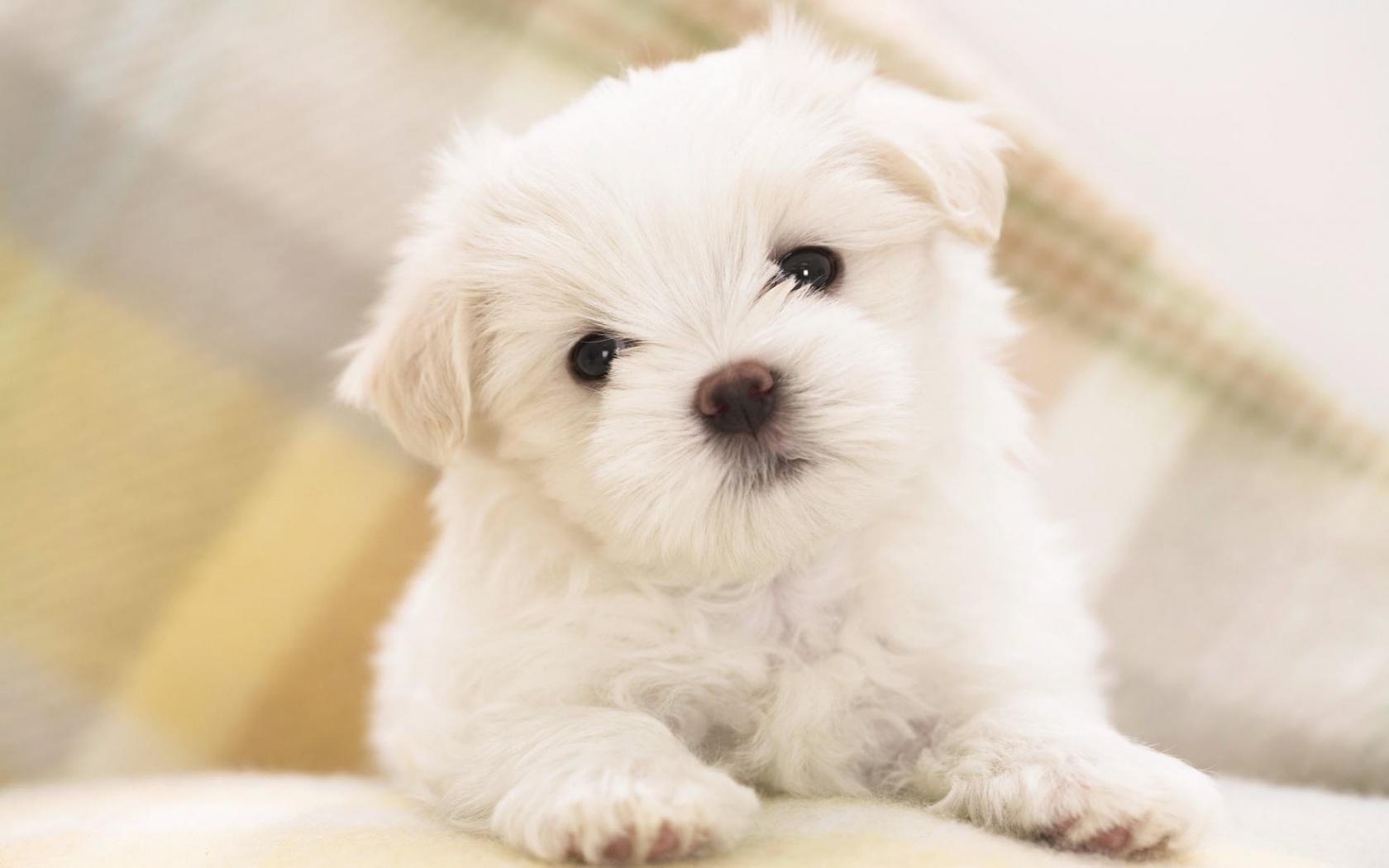 Hd cute puppy backgrounds | pixelstalk. Net.