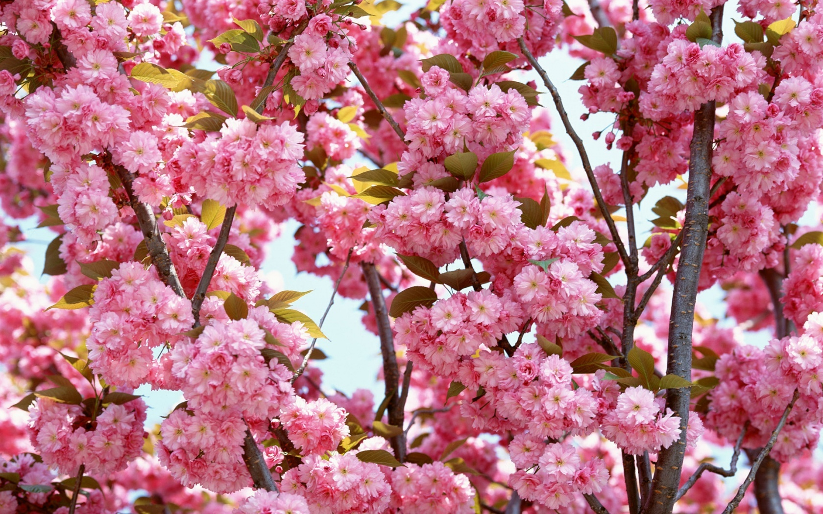 Pink Flowers Bloom Wallpapers In Jpg Format For Free Download