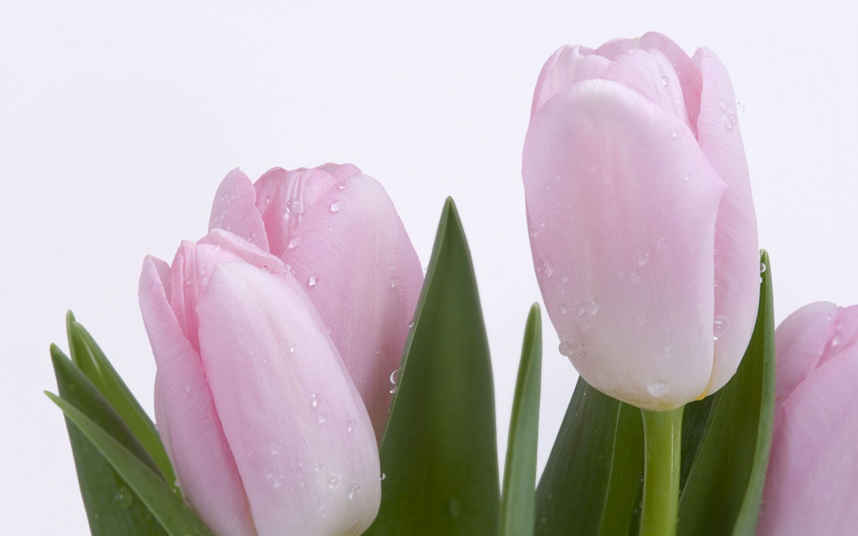 Pink Fresh Tulips Wallpaper Flowers Nature Wallpapers