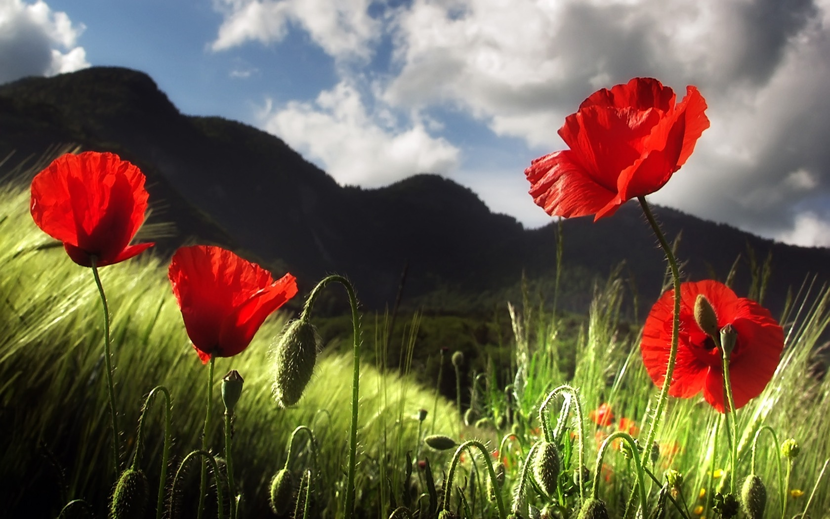 Poppy Wallpaper Flowers Nature Wallpapers In Jpg Format For Free