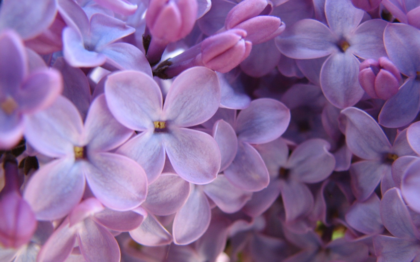 Purple Lilac Wallpaper Flowers Nature Wallpapers In Jpg Format For