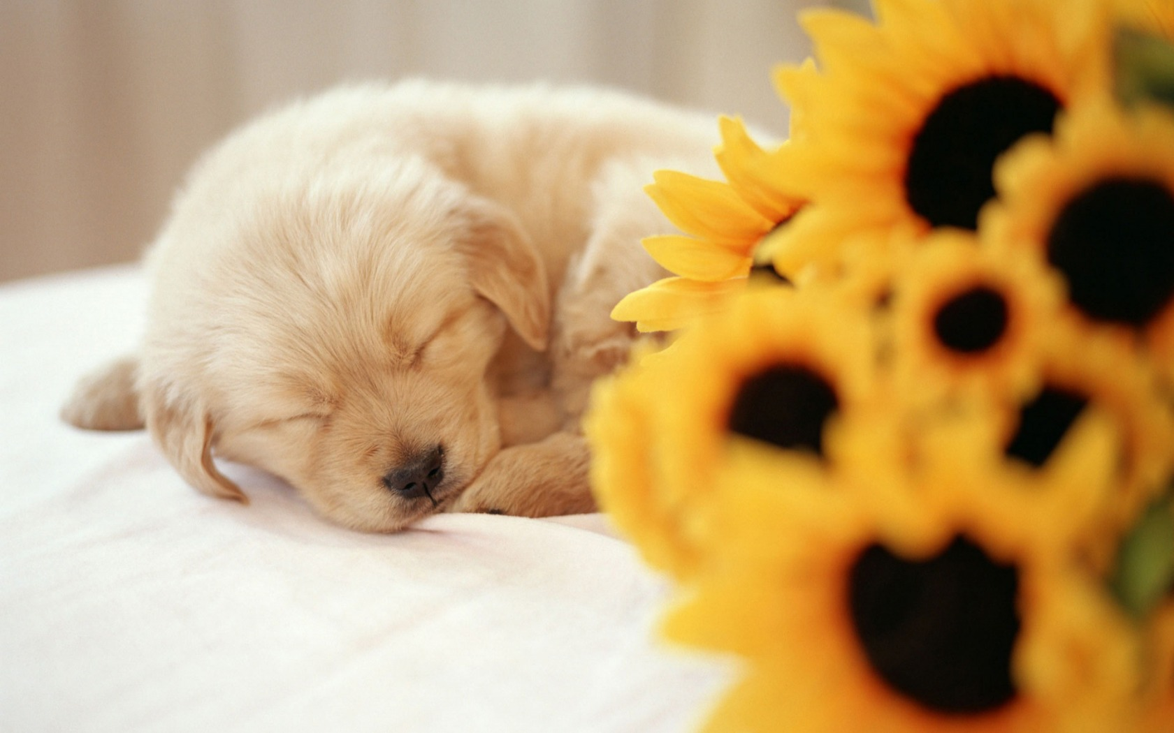 Sleeping Puppy Wallpaper Dogs Animals Wallpapers In Jpg Format For