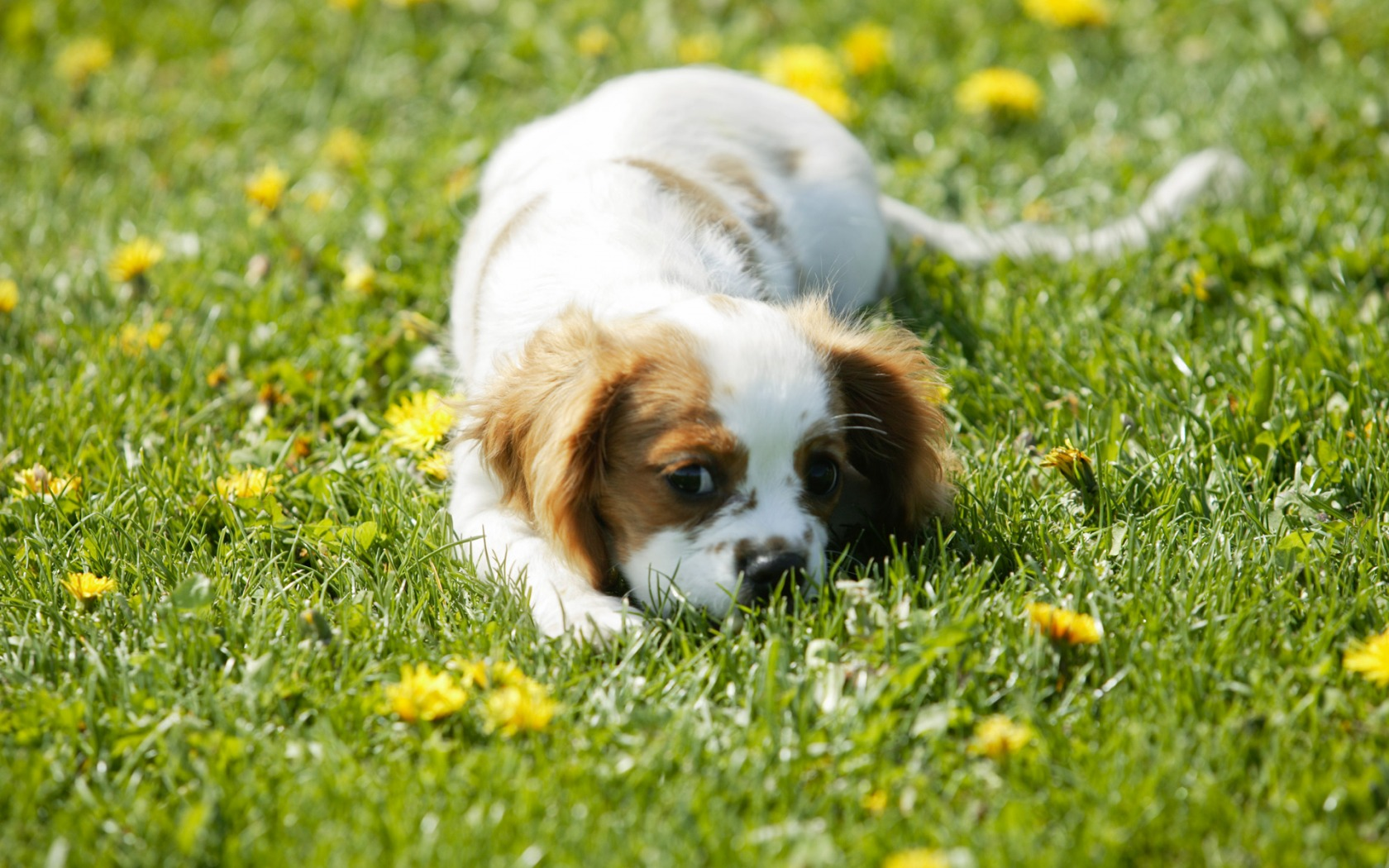small dog wallpaper dogs animals wallpapers in jpg format for free