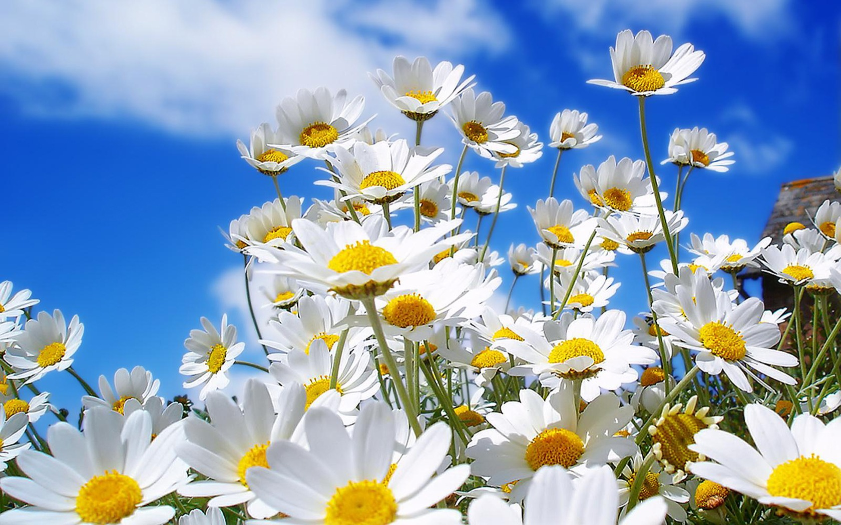 spring daisies wallpaper flowers nature wallpapers in jpg format for