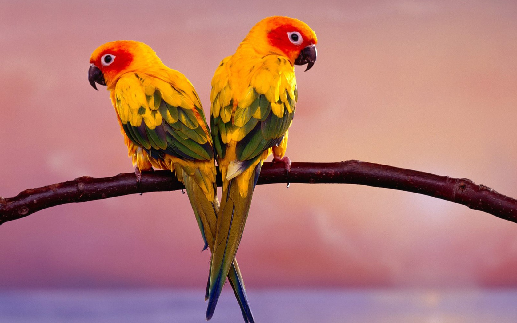 Cool Wallpaper Love Parrot - sun_conure_parrots_wallpaper_parrots_animals_515  Gallery_736617.jpg