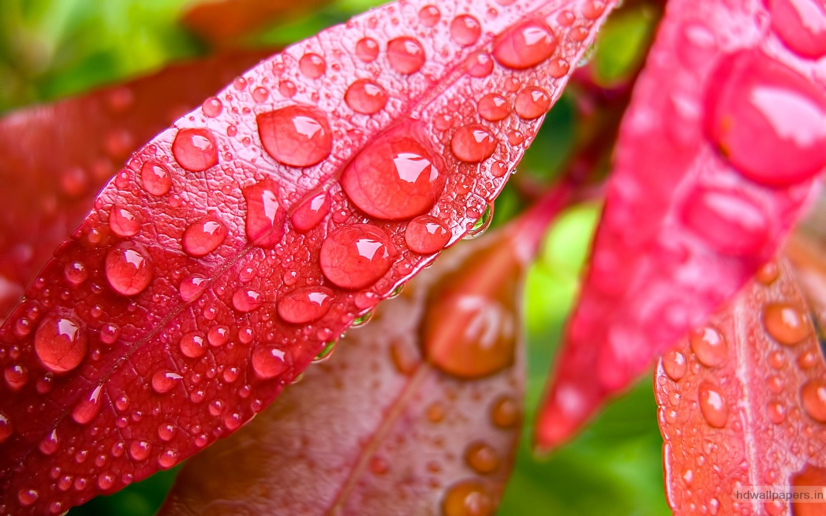 Water Bubbles On Pink Leaf Wallpapers In Jpg Format For Free Download
