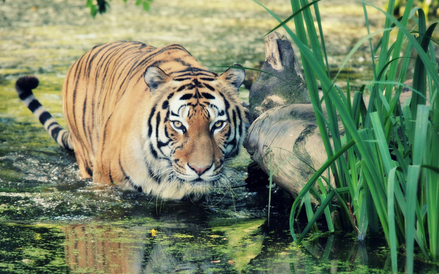 wild tiger wallpapers in jpg format for free download