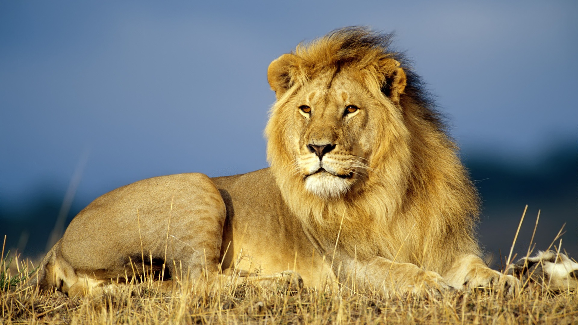 african lion wallpaper big cats animals wallpapers in jpg format for