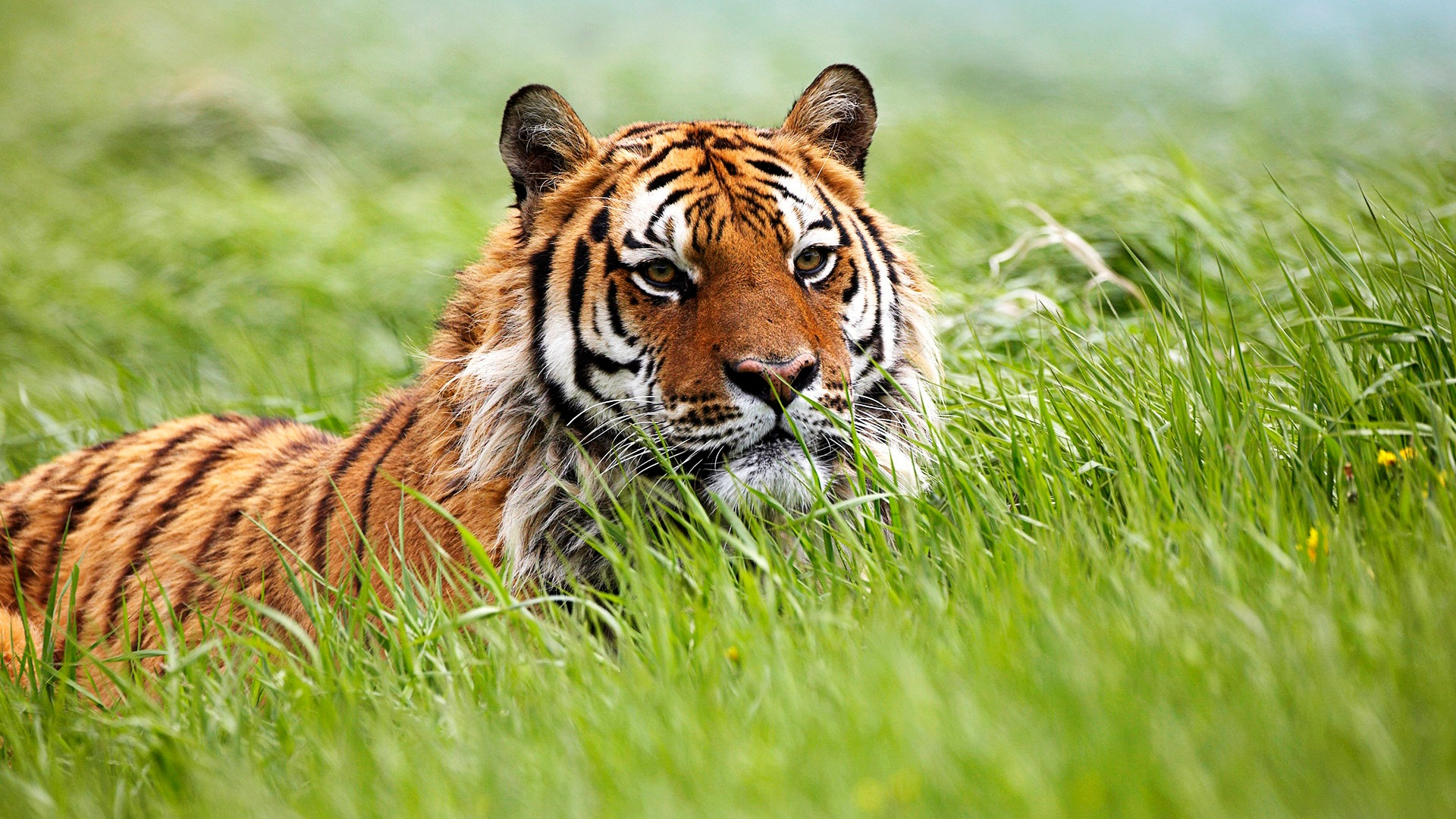 Wonderful Wallpaper High Quality Tiger - amazing_siberian_tiger_8910  Gallery_545458.jpg