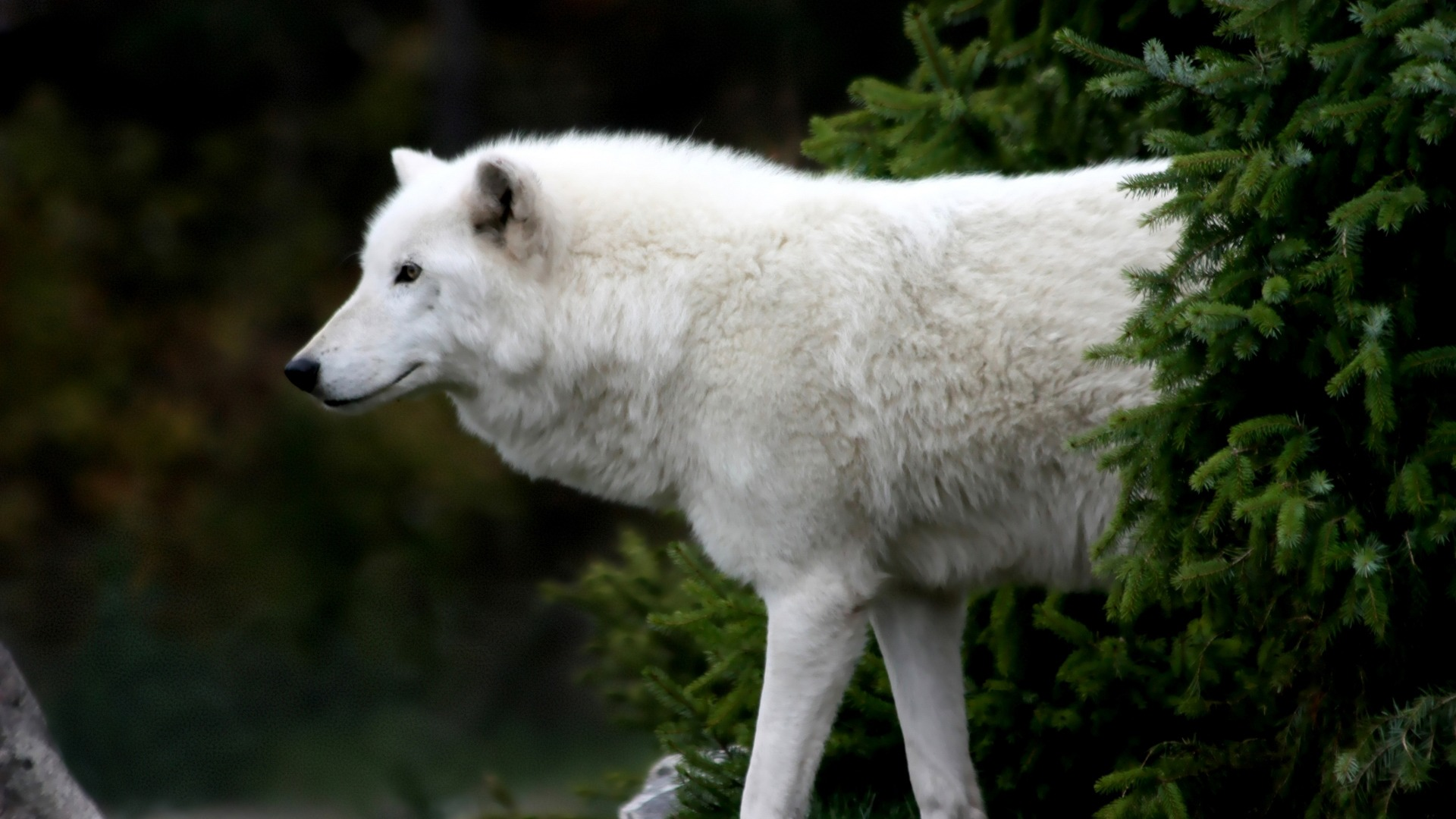 Arctic Wolf Wallpaper Wolves Animals Wallpapers In Jpg Format For Free Download
