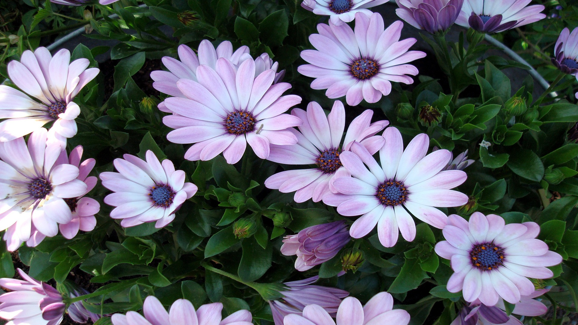 beautiful flowers wallpaper flowers nature wallpapers in jpg format
