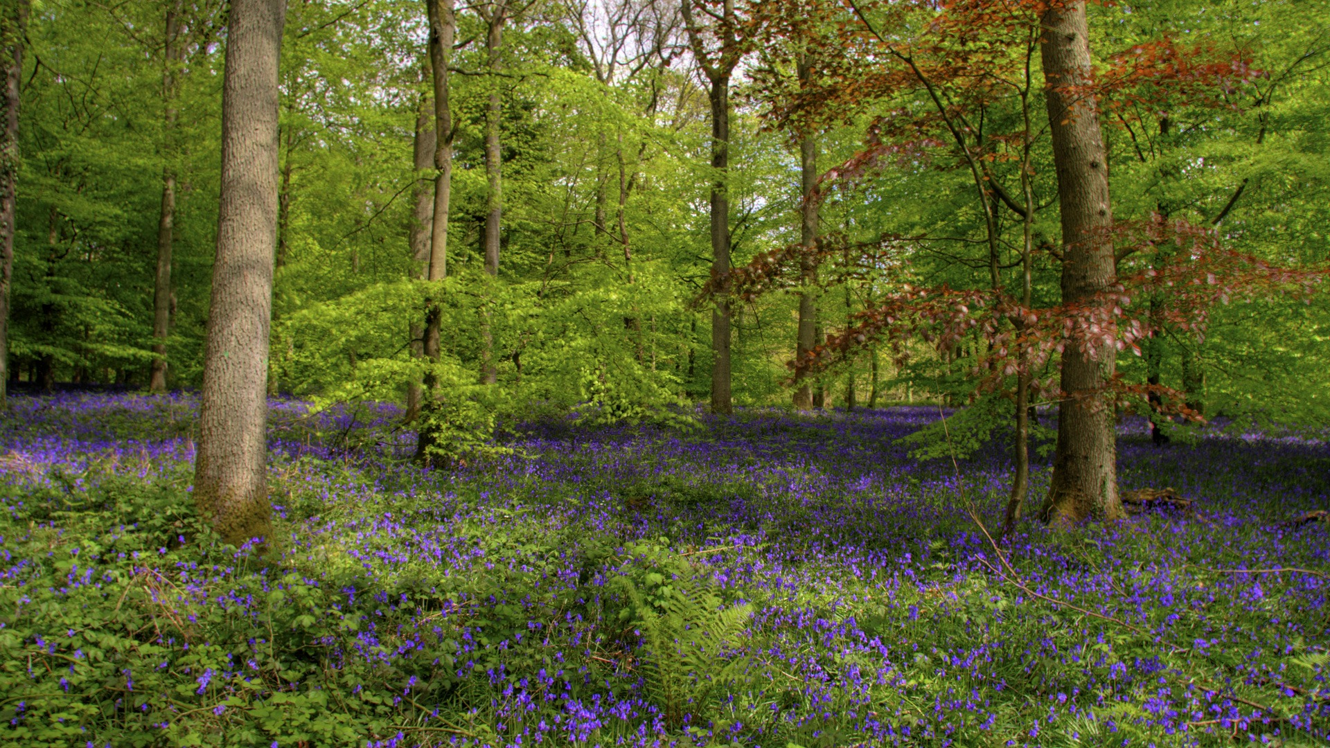Group Of Blue Bell Forest Wallpaper
