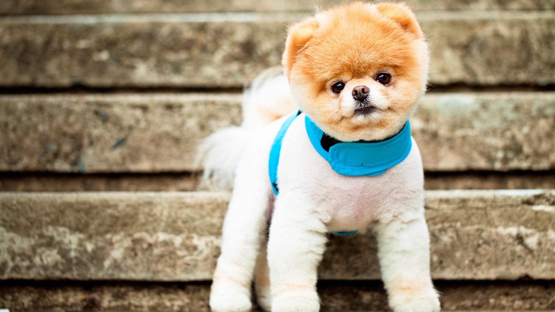 boo the cutest dog wallpapers in jpg format for free download