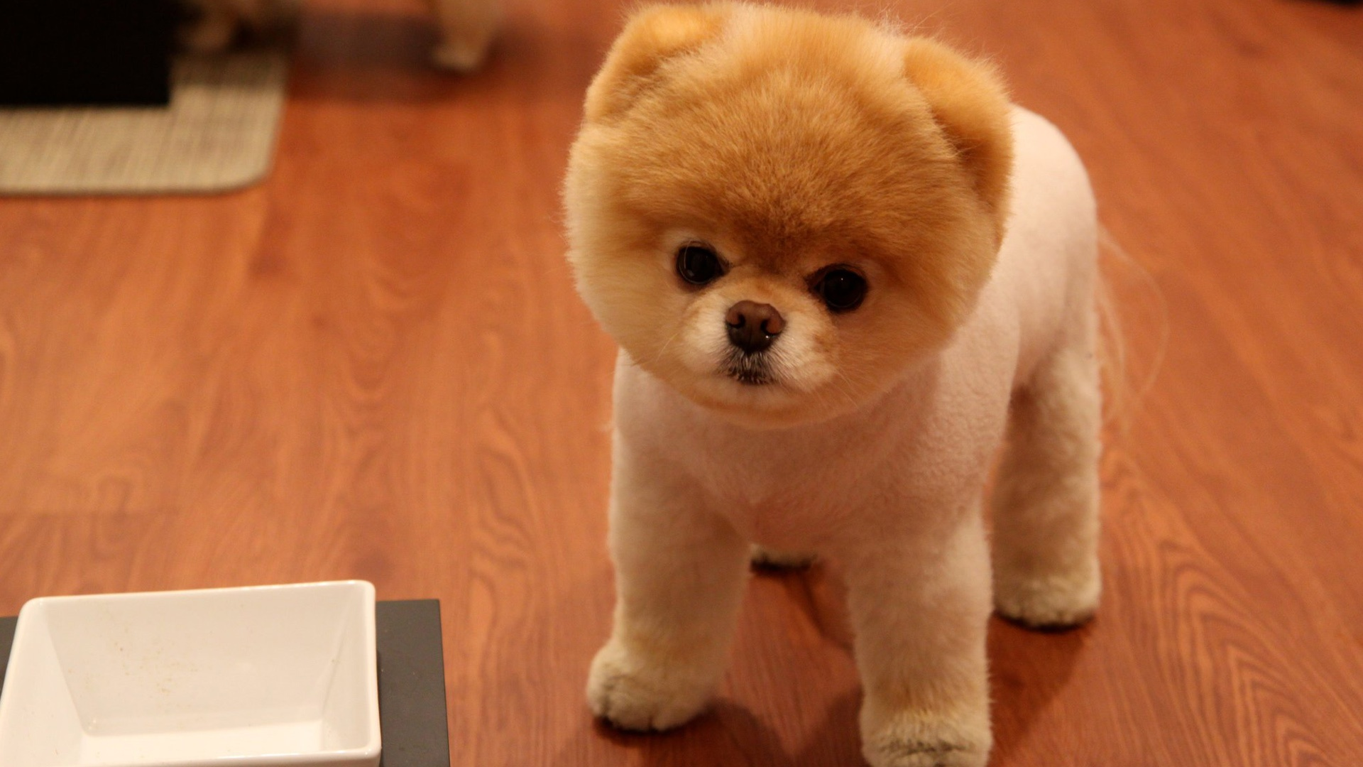 Cute Pomeranian Dog Wallpapers In Jpg Format For Free Download