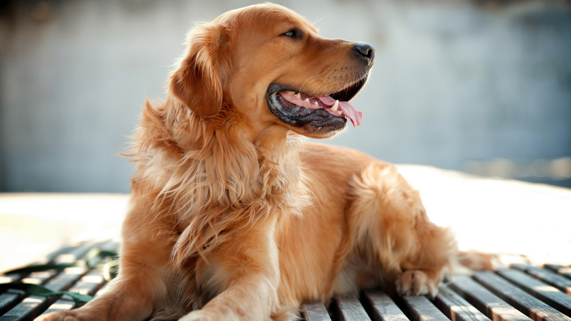 golden retriever dog wallpapers in jpg format for free download