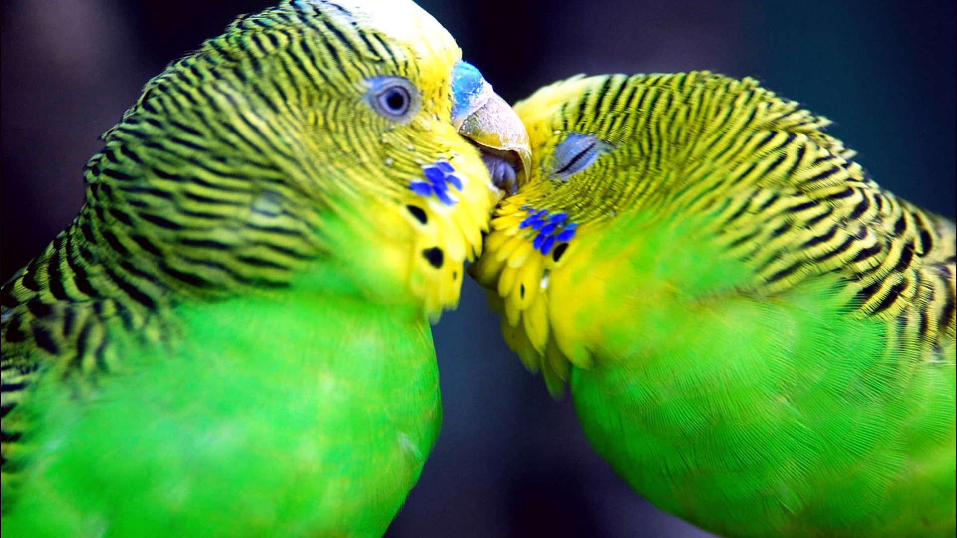 Cool Wallpaper Love Parrot - parrots_in_love_wallpaper_parrots_animals_354  Perfect Image Reference_49468.jpg