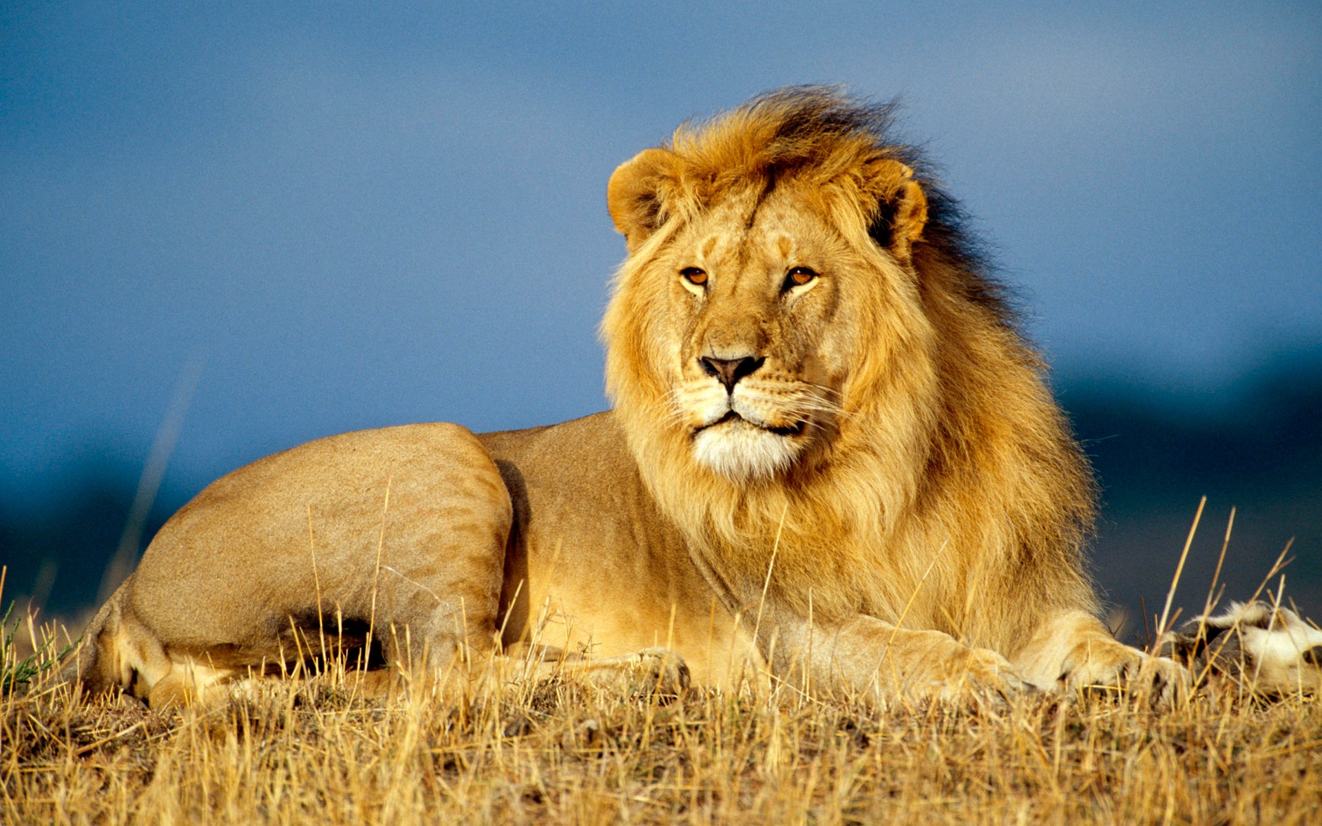 Wallpaper download lion - African Lion King
