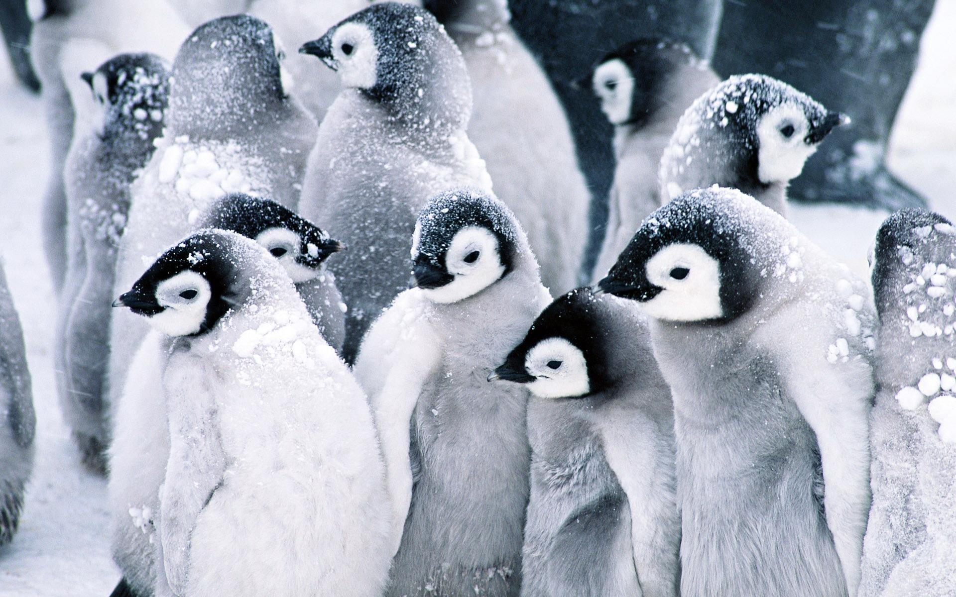 Baby Penguins Wallpaper Animals Wallpapers