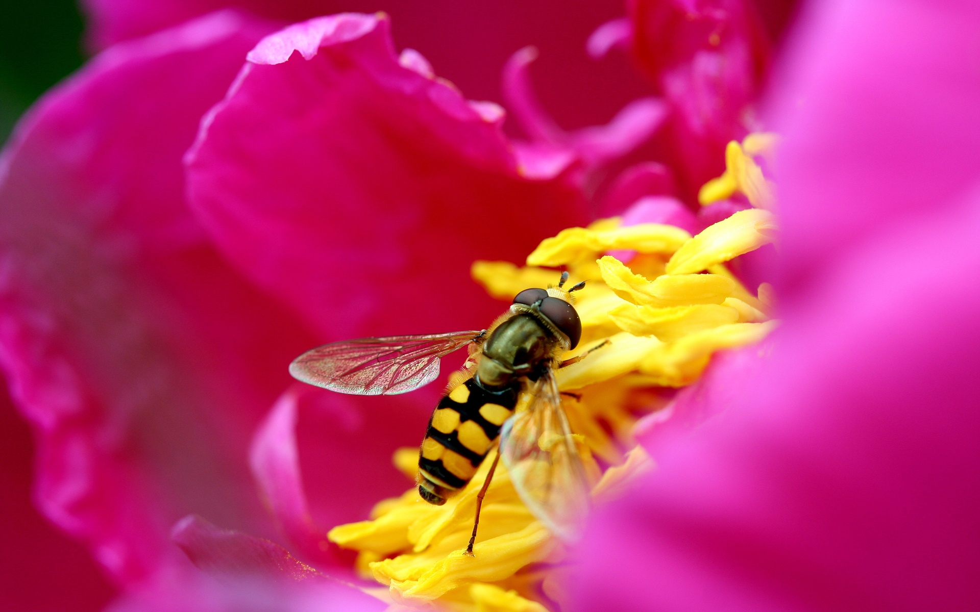 Bee Flower In Hd Wallpapers In Jpg Format For Free Download