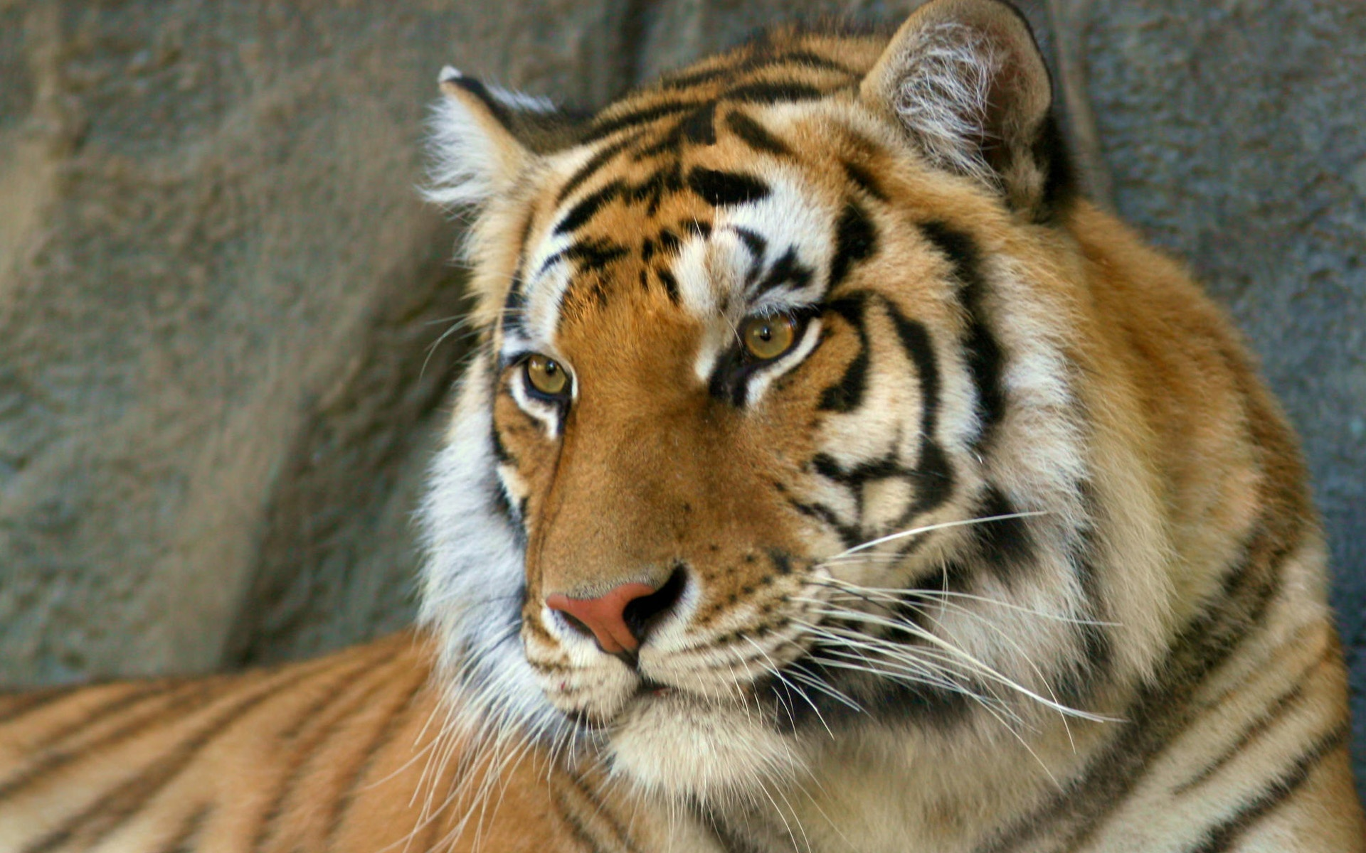 watchful eyes bengal tiger wallpaper tigers animals (72 wallpapers