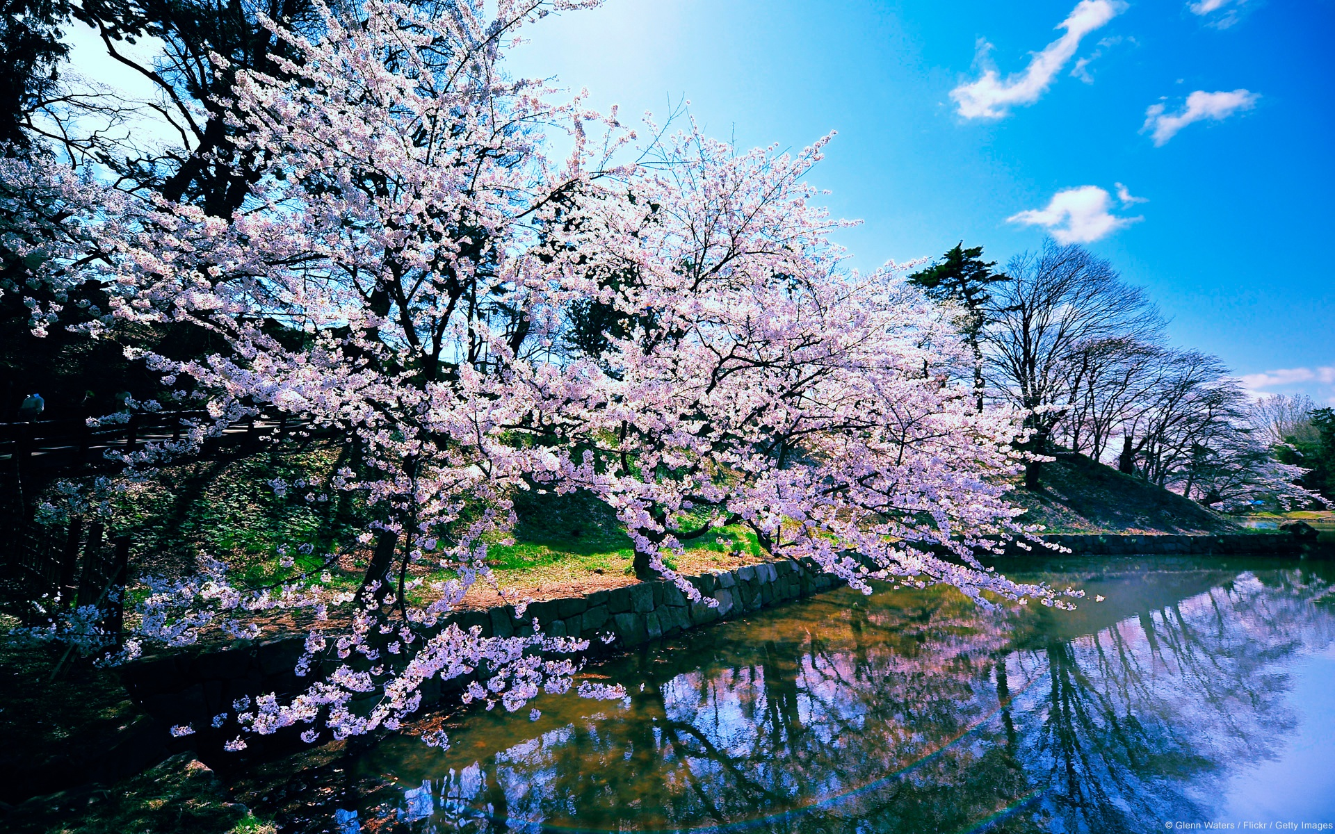 Must see Wallpaper High Resolution Cherry Blossom - cherry_blossom_trees_10690  Trends_28143.jpg