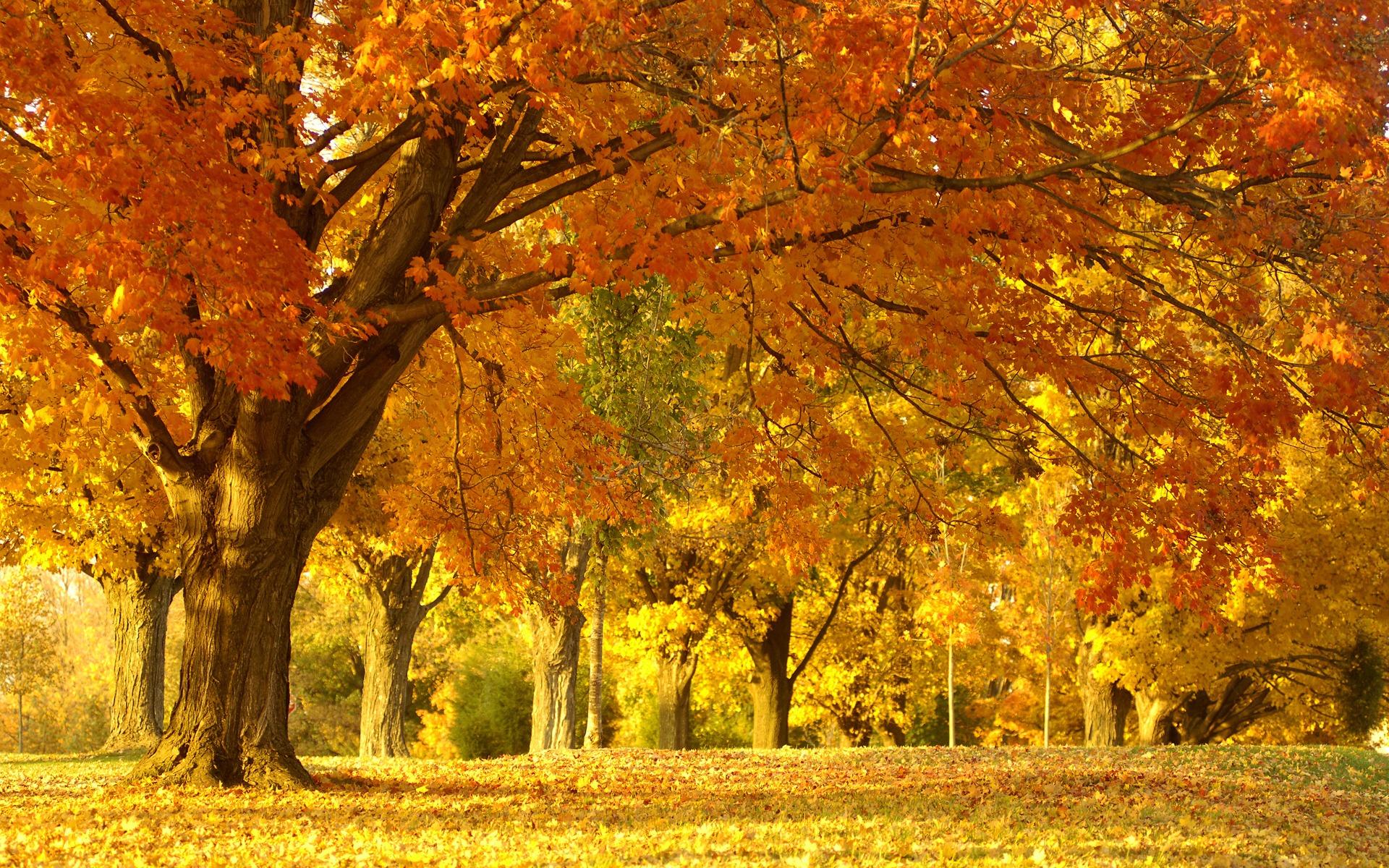 Good Wallpaper Home Screen Autumn - golden_autumn_tree_wallpaper_autumn_nature_1018  Photograph_267178.jpg