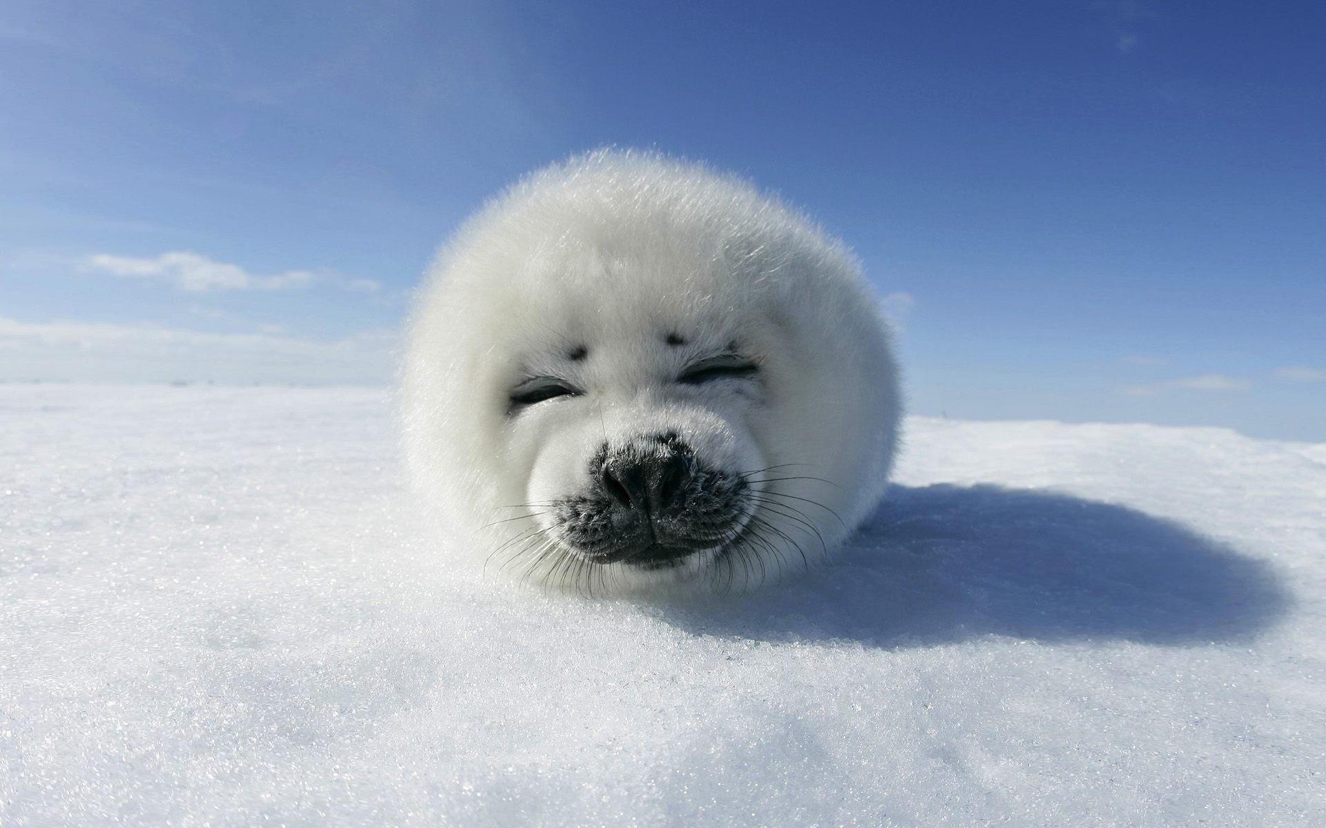 harp seal wallpaper seals animals wallpapers for free download about