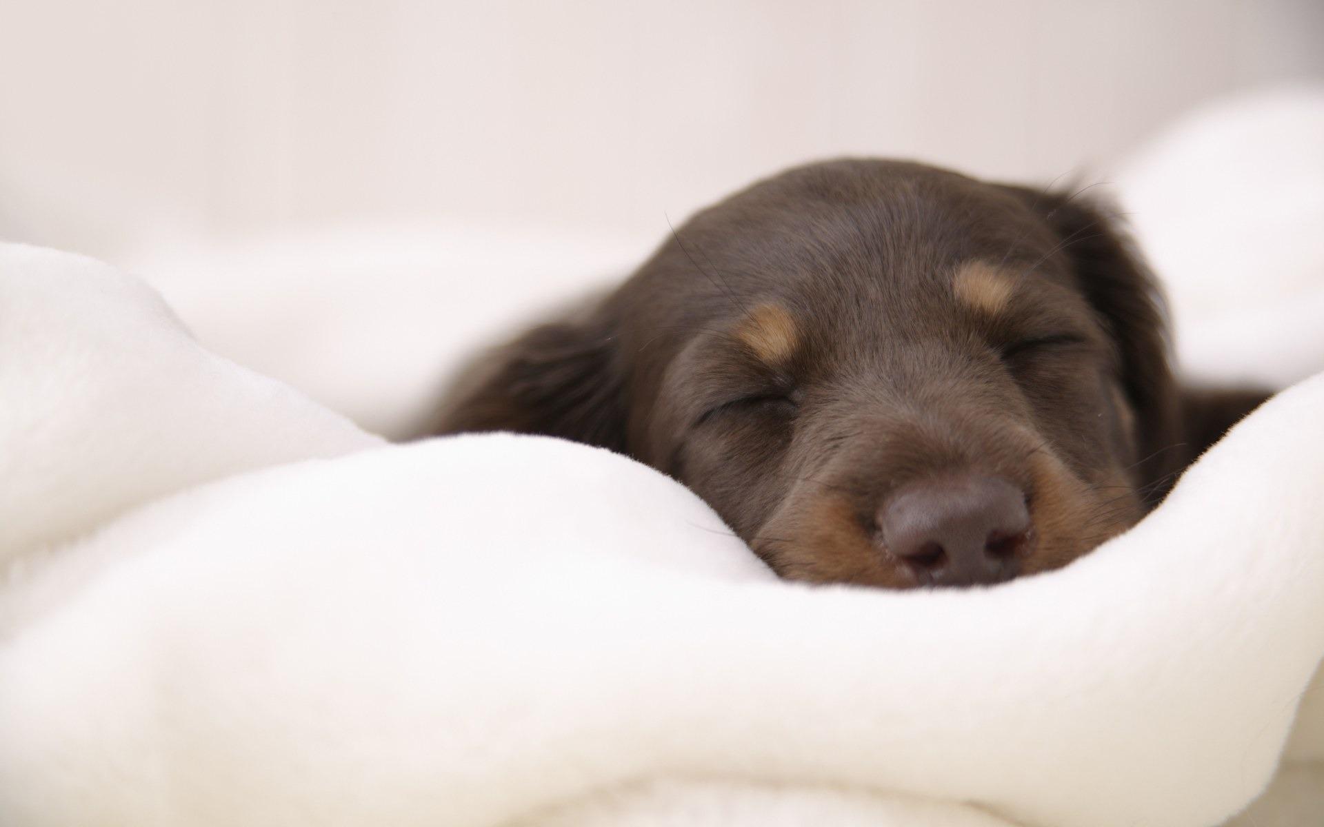 Miniature Dachshund Wallpaper Dogs Animals Wallpapers