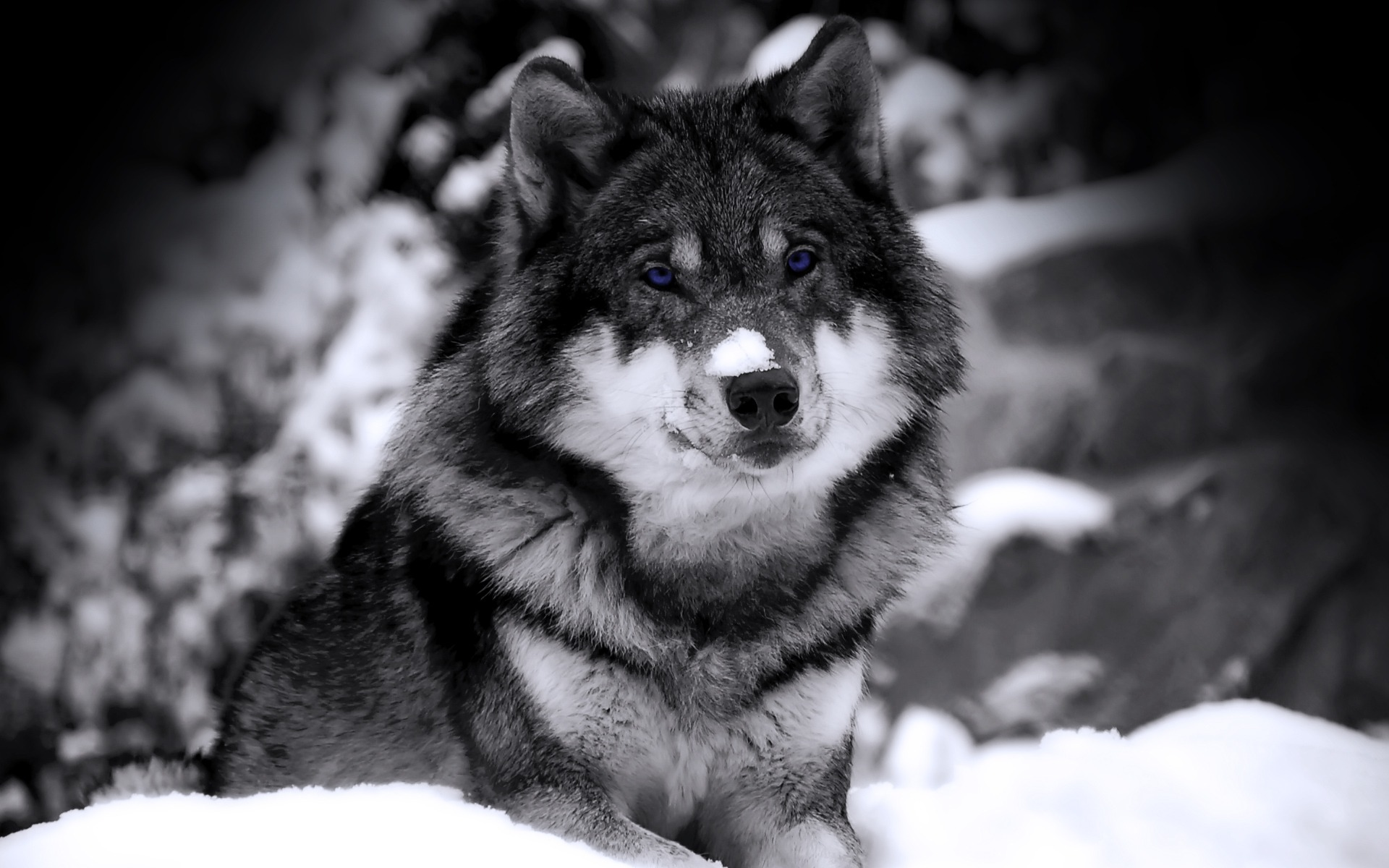 Popular Gray Wolf Wallpaper Black - mysterious_wolf_wallpaper_wolves_animals_397  HD_639795.jpg