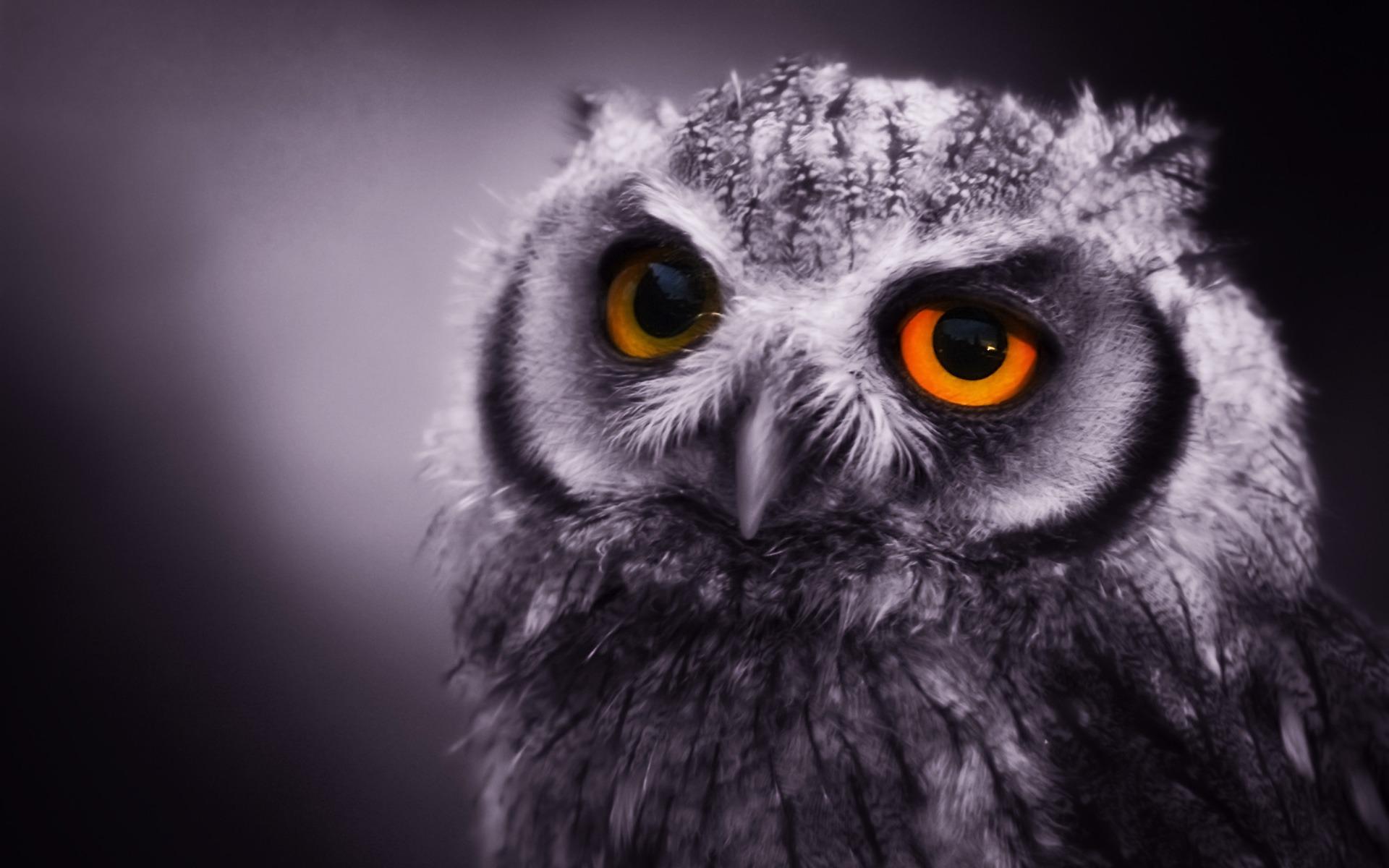 Wonderful Wallpaper Animal Night - night_owl_wallpaper_birds_animals_319  Best Photo Reference_341329      .jpg
