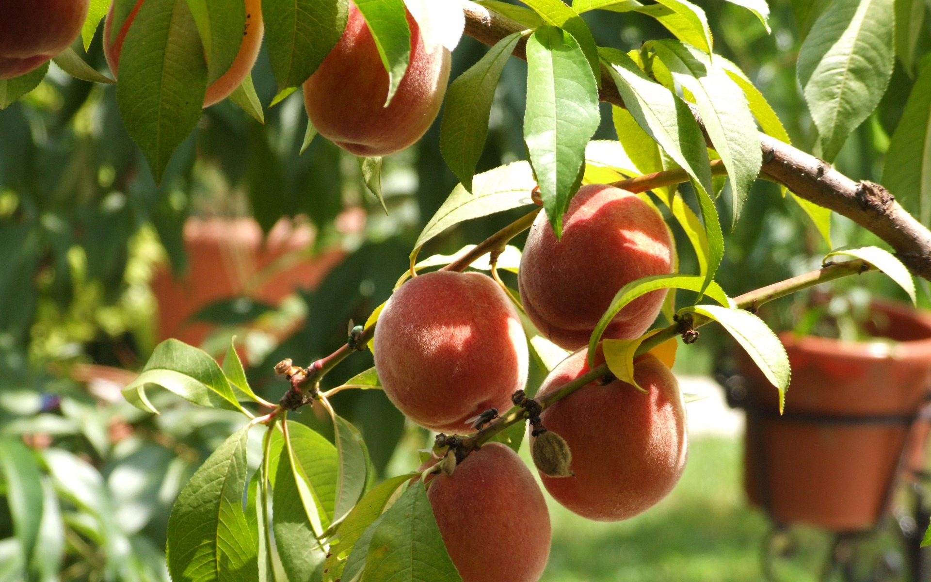 Peaches Wallpaper Fruits Nature Wallpapers In Jpg Format For Free Download