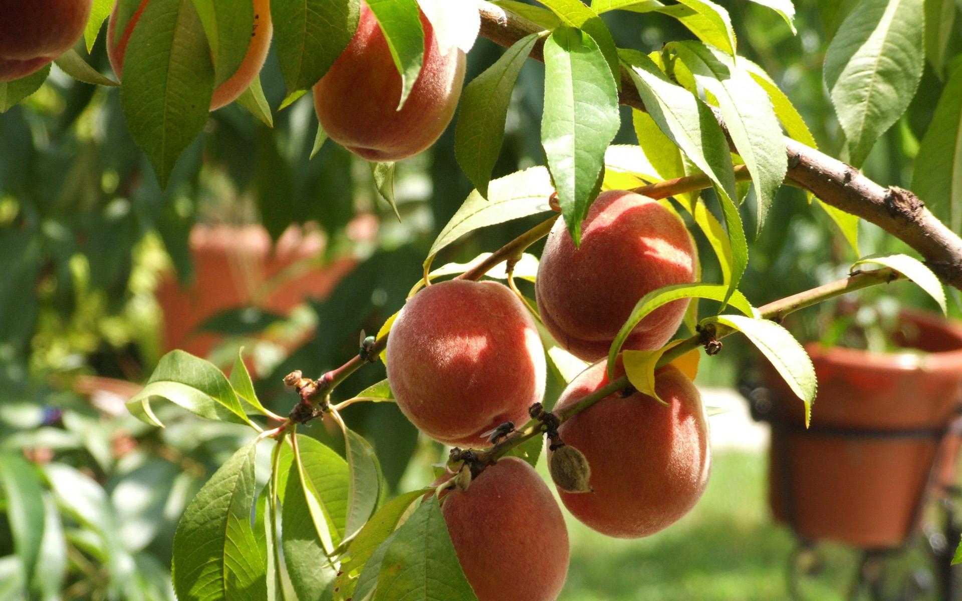 Wallpaper fruits free download - Peaches Wallpaper Fruits Nature
