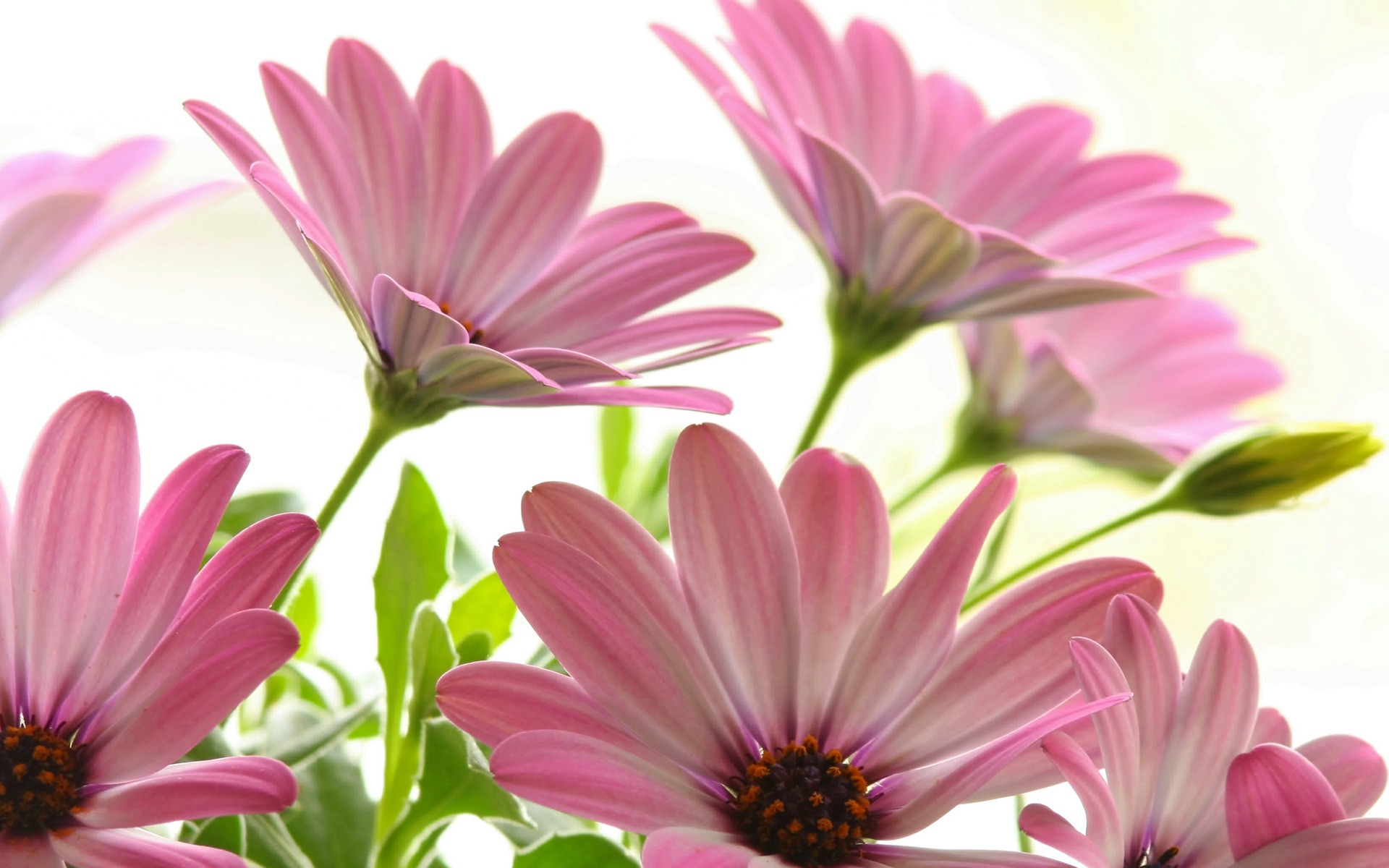 Pink Daisies Wallpaper Flowers Nature Wallpapers In Jpg Format For