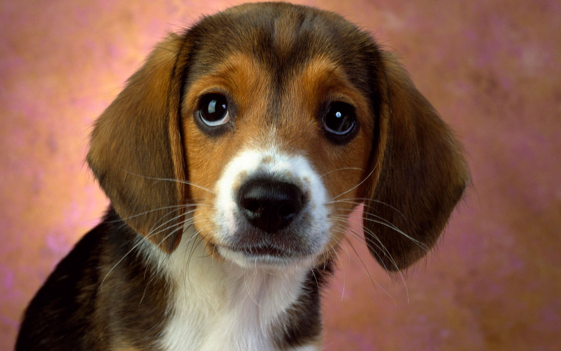 Puppy Eyes Beagle Wallpapers in jpg format for free