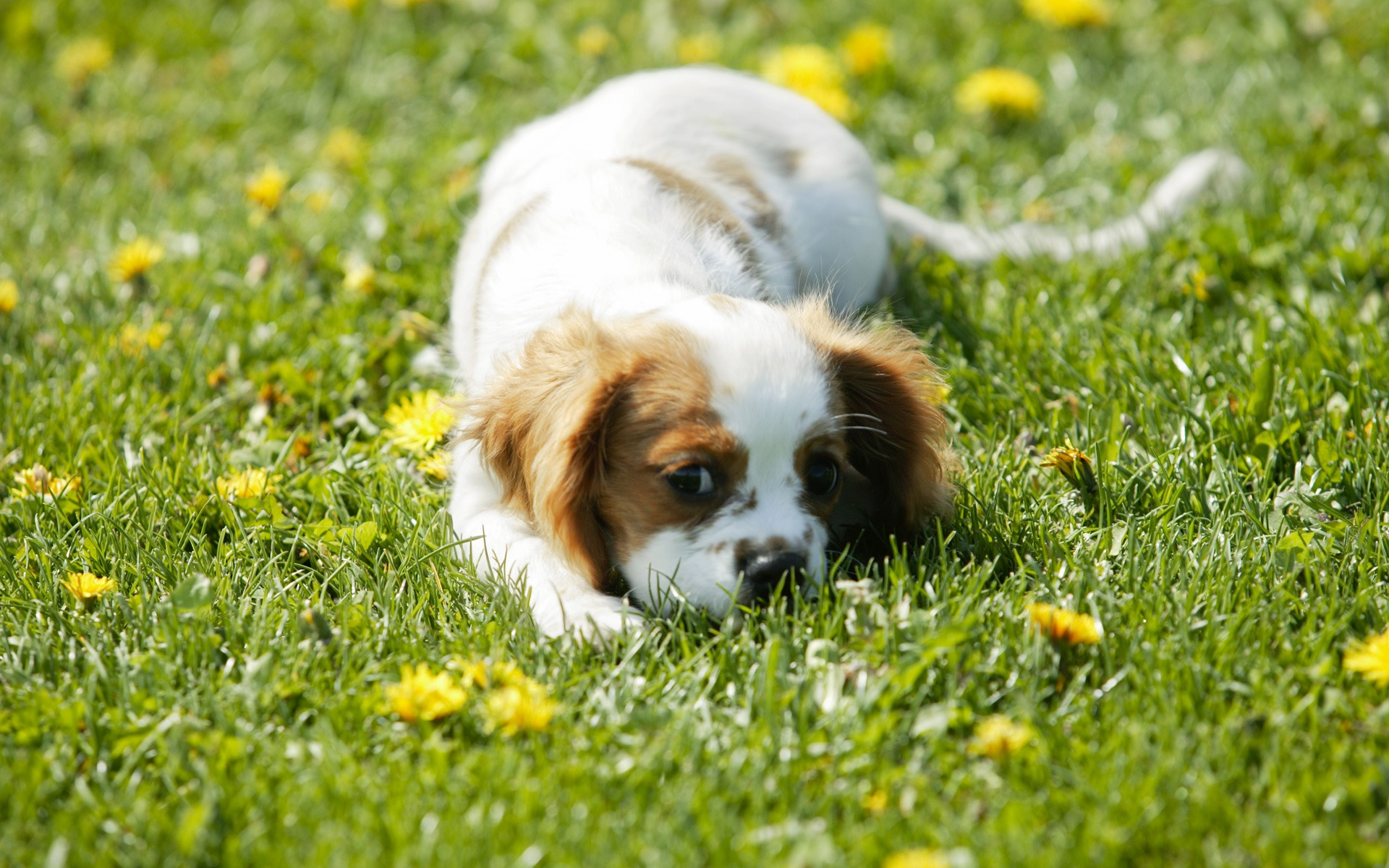 Puppy Wallpaper Dogs Animals Wallpapers In Jpg Format For Free Download