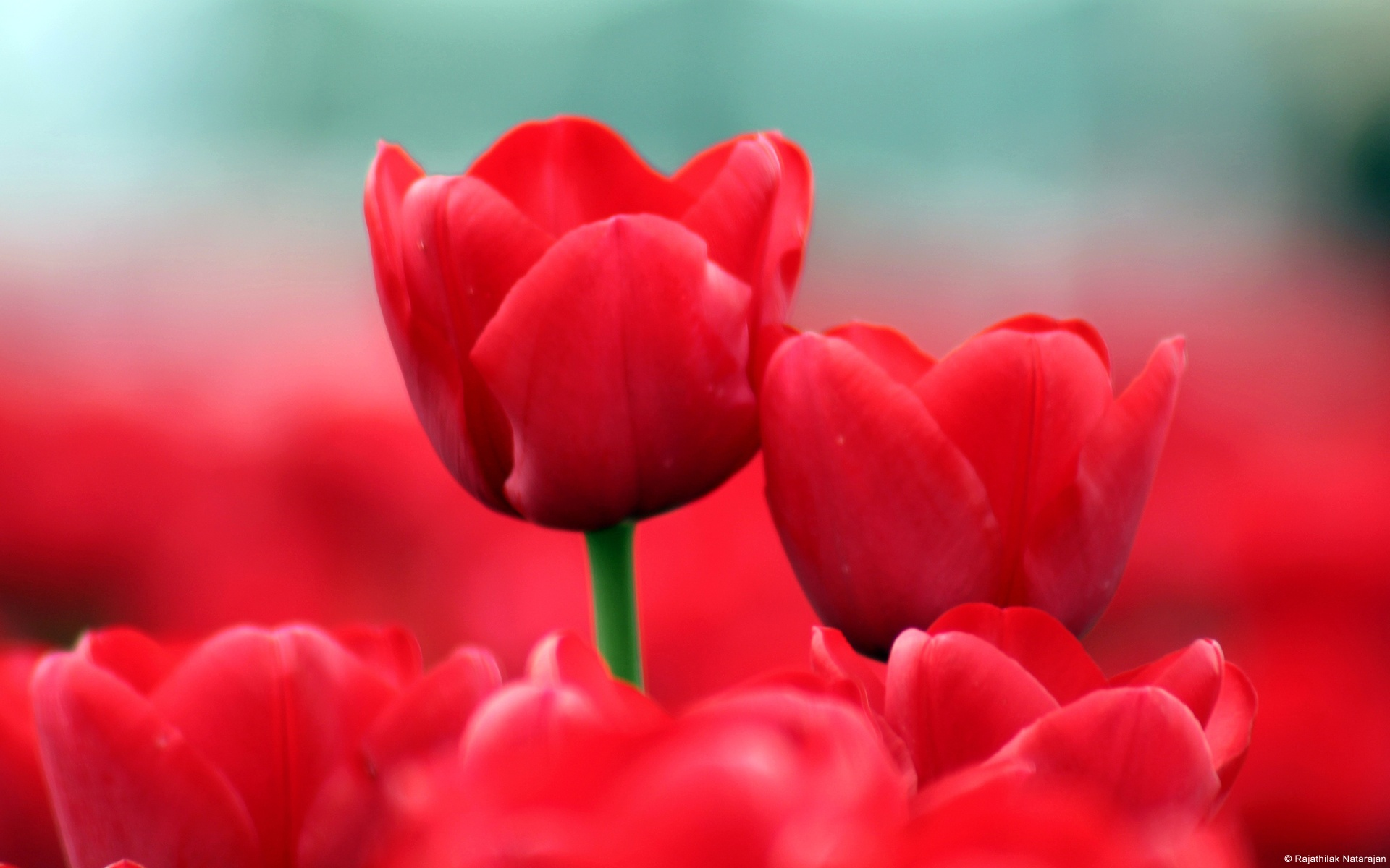 group of red tulip flowers hd