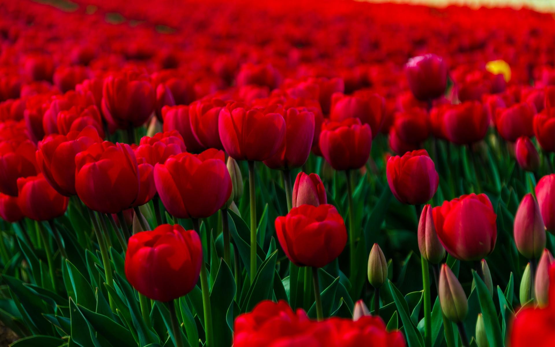 Rose Flowers Hd Wallpapers Flowers Healthy