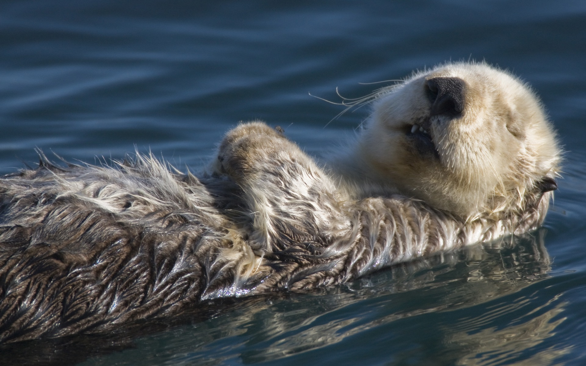 Sea Otter Wallpaper Other Animals Wallpapers in jpg format for