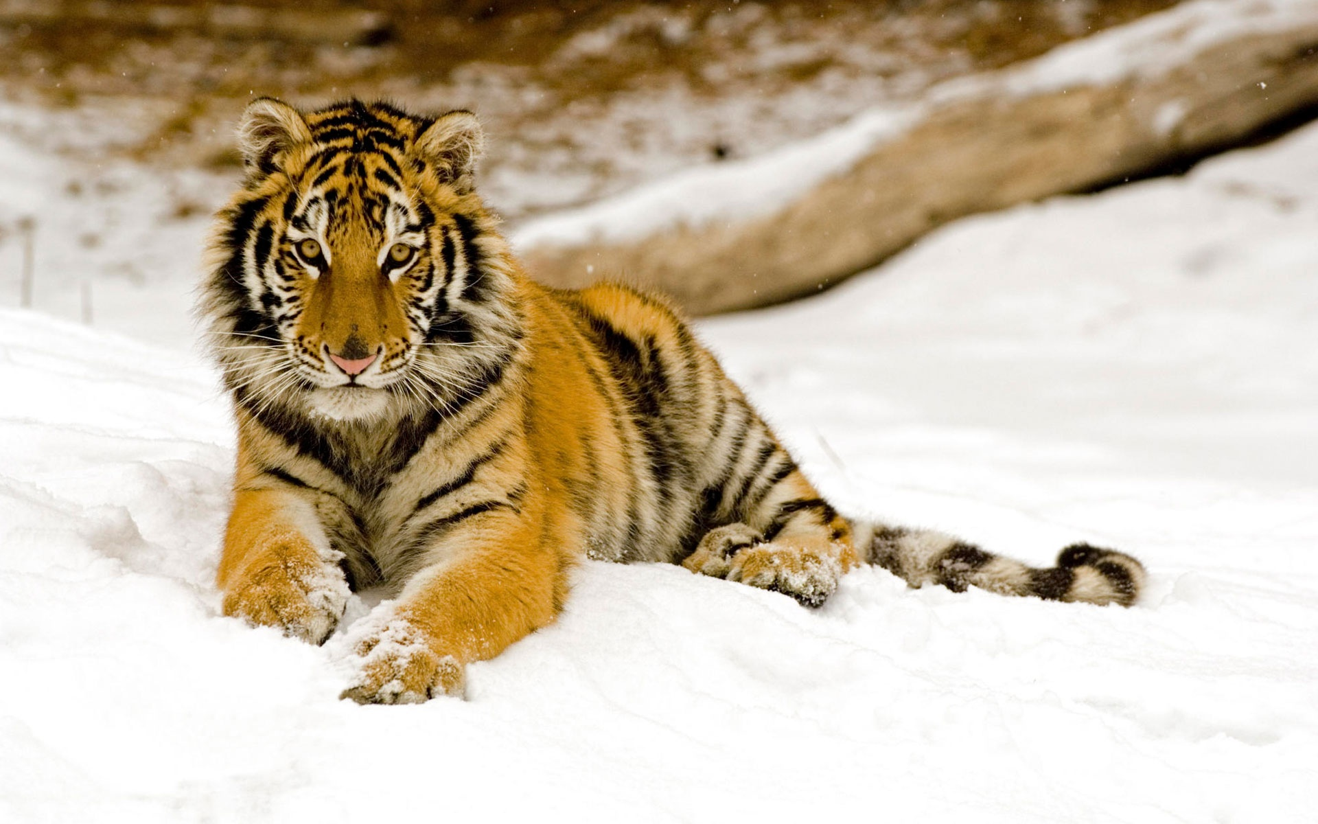 Snowy Afternoon Tiger Wallpapers In Jpg Format For Free Download