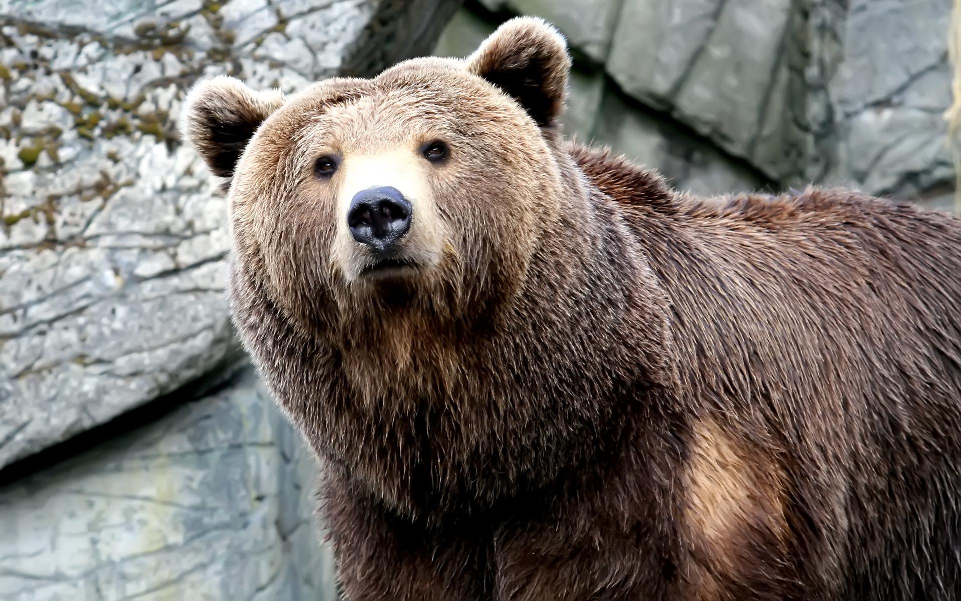 Wet Bear Wallpaper Bears Animals Wallpapers In Jpg Format For Free