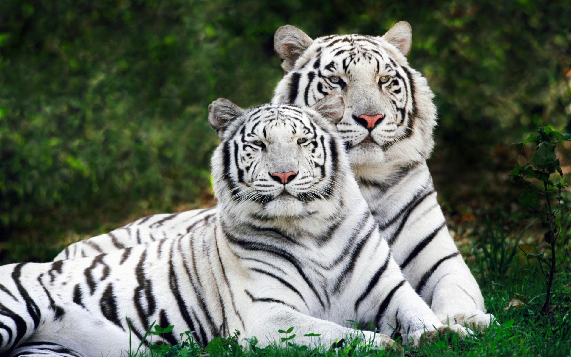White Bengal Tigers Widescreen Wallpapers In Jpg Format For Free