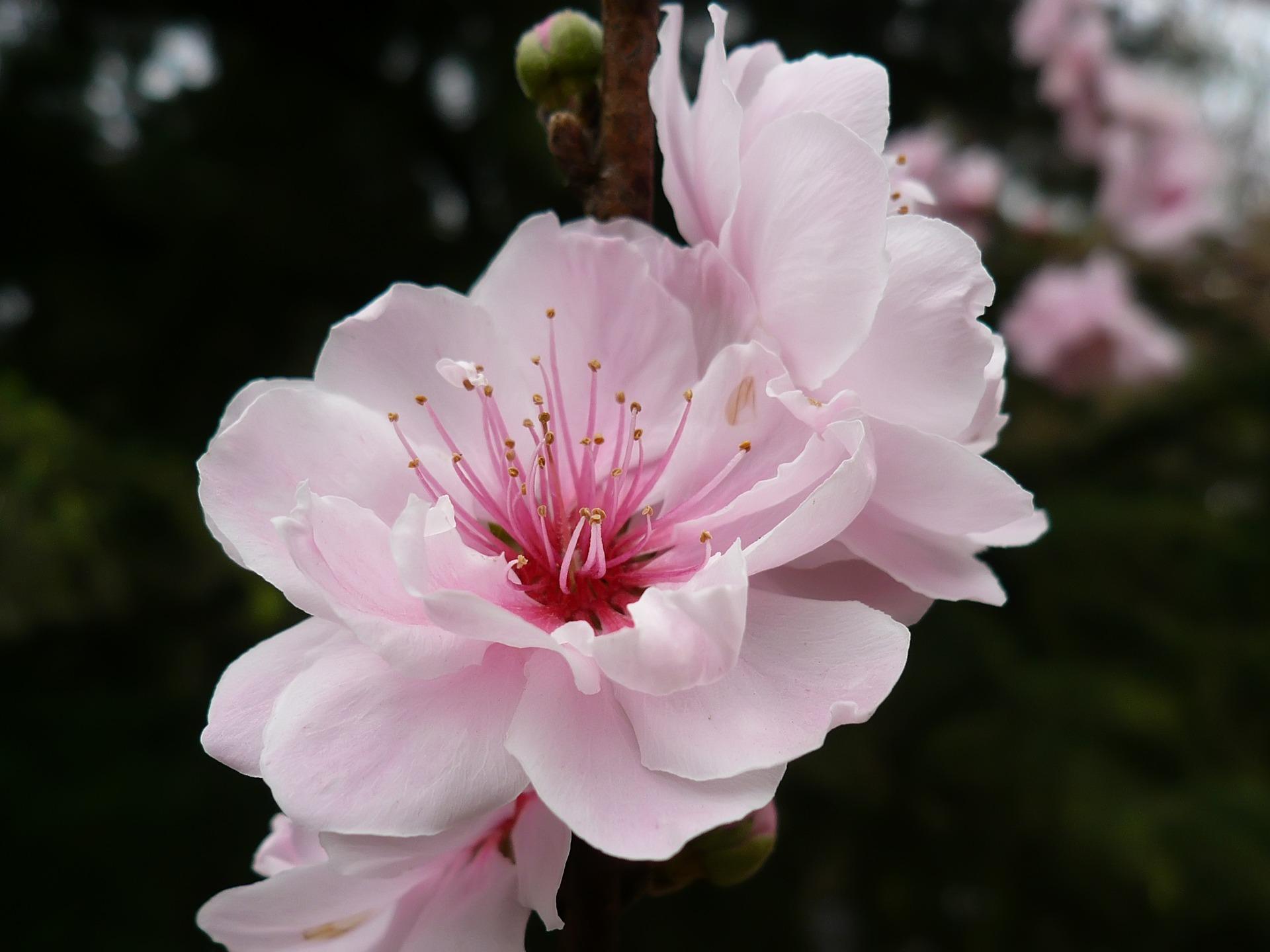 cherry flower wallpaper plants nature wallpapers in jpg format for