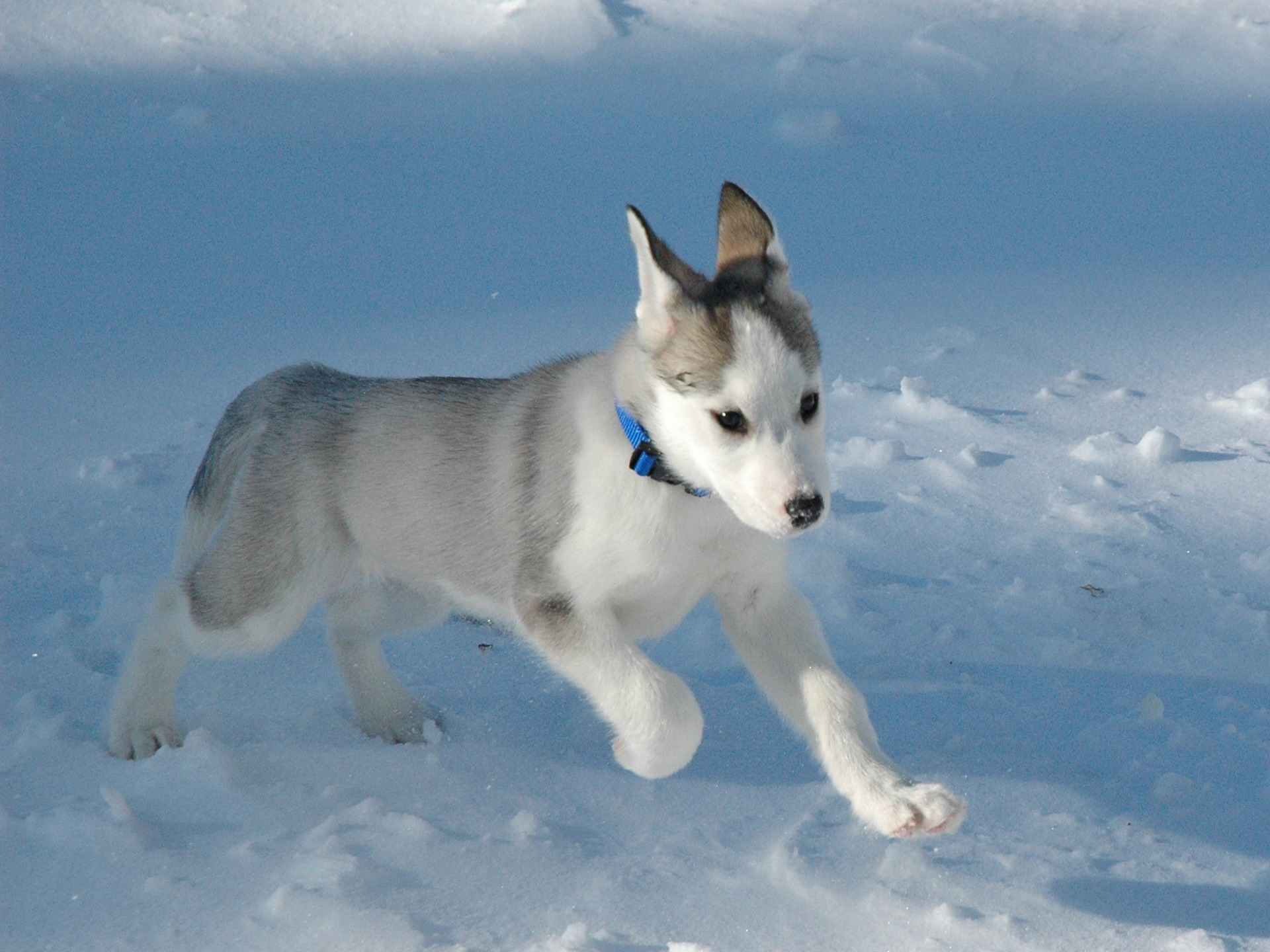 husky wallpaper dogs animals wallpapers in jpg format for free download