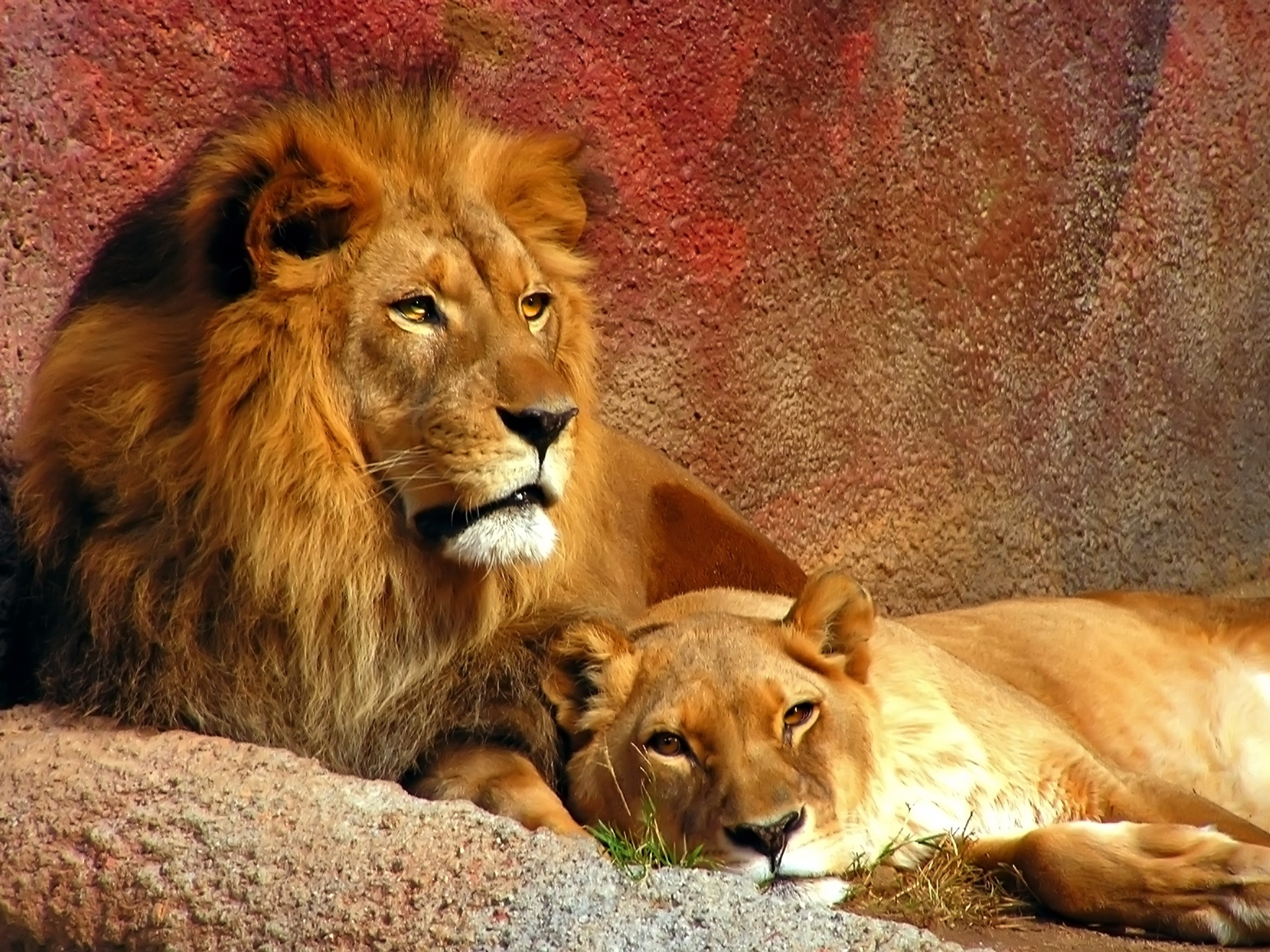 Lion wallpaper wallpapers for free download about 3030 wallpapers lions wallpaper big cats animals voltagebd Gallery